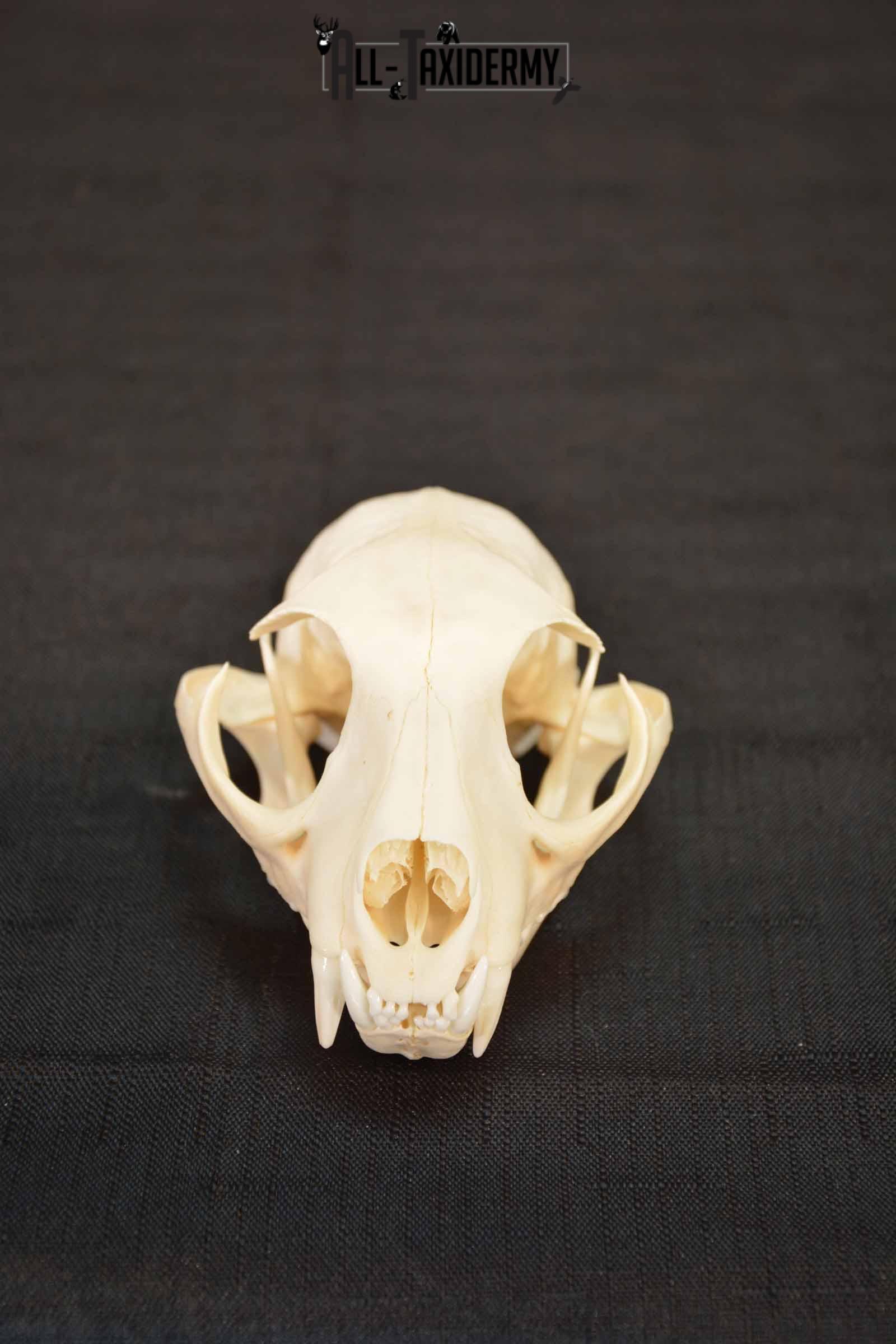 Bobcat Lynx skull set for sale SKU 1368
