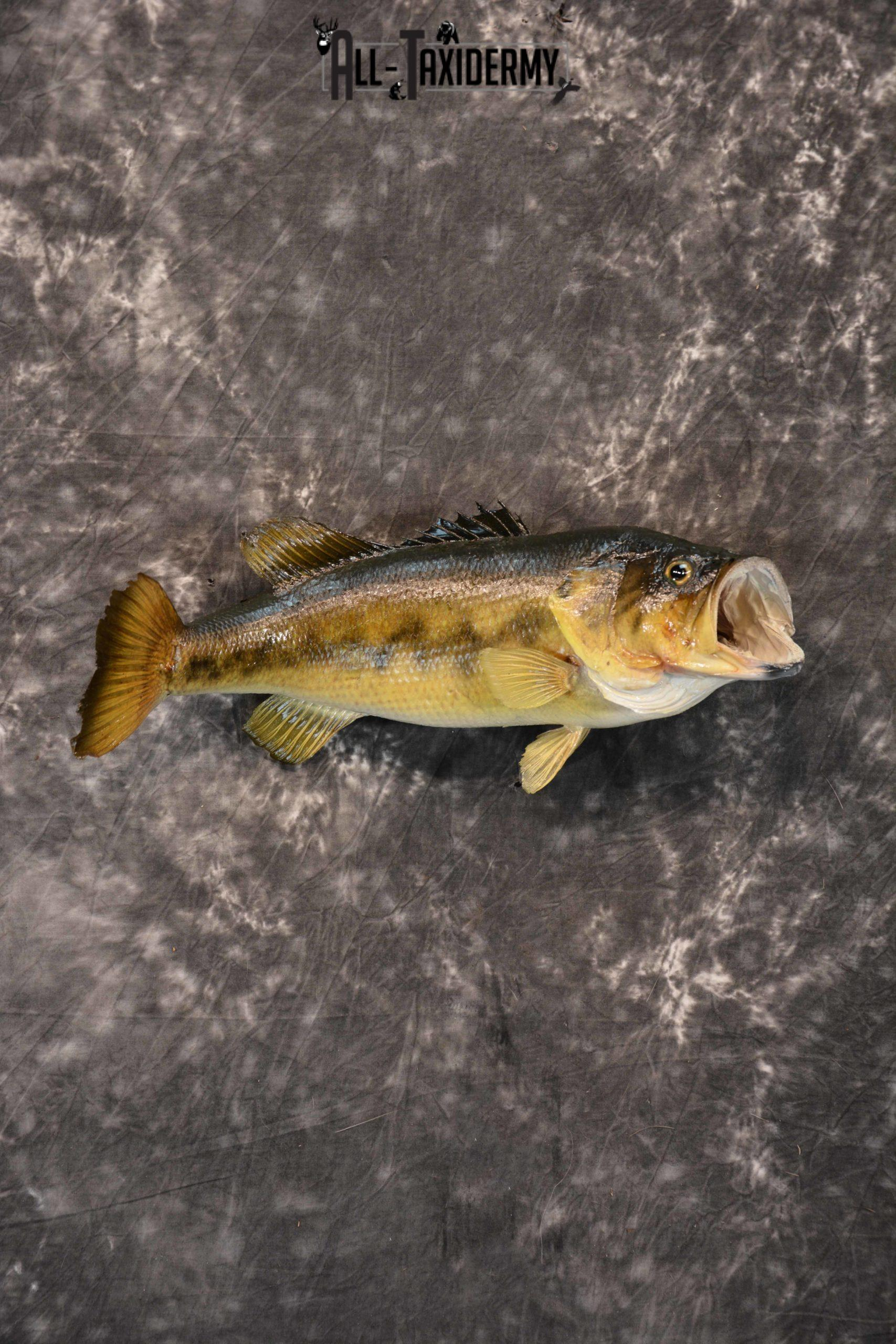 Large Mouth Bass Taxidermy skin mount for sale SKU 1357