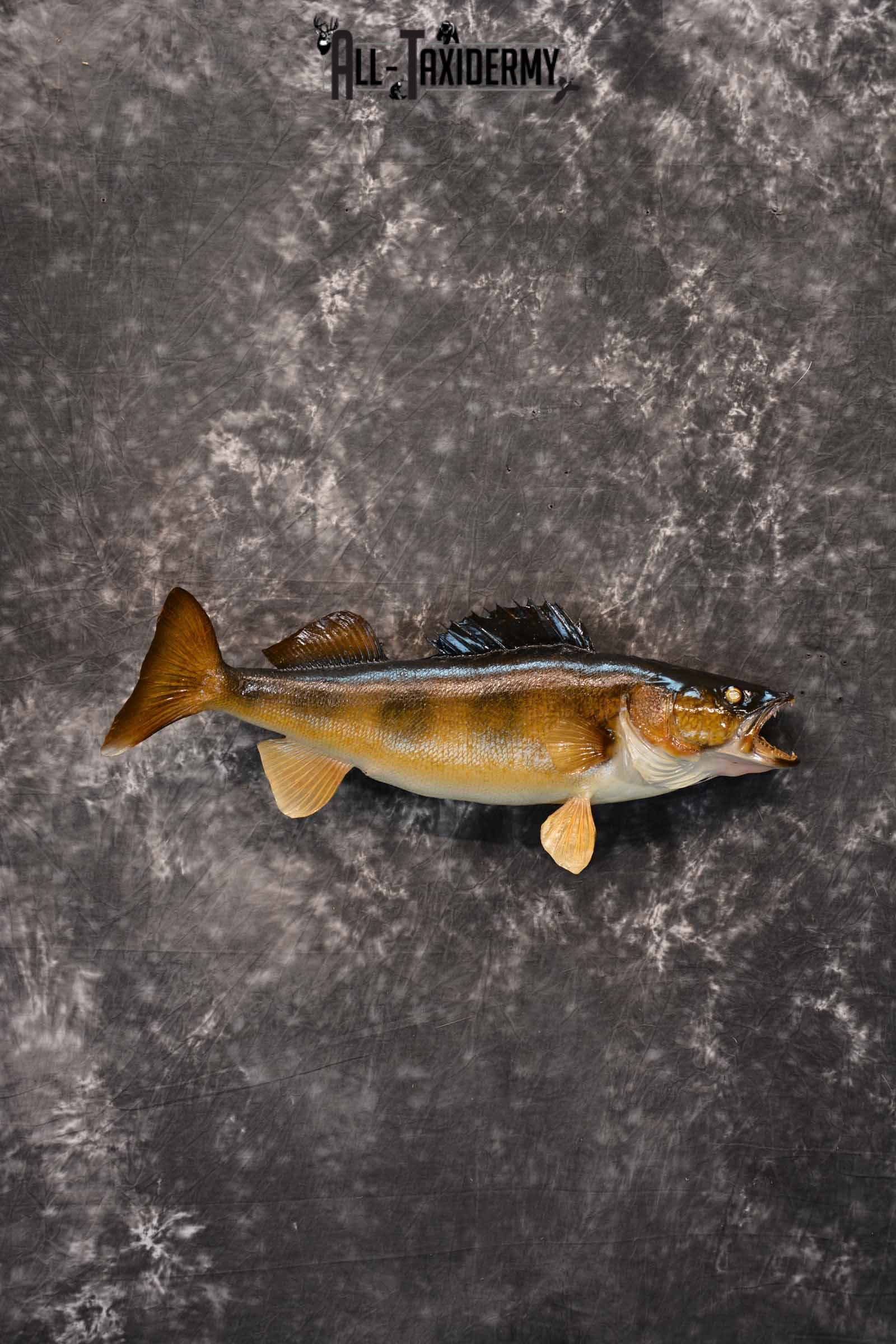 Walleye Taxidermy Mount for Sale SKU 1352