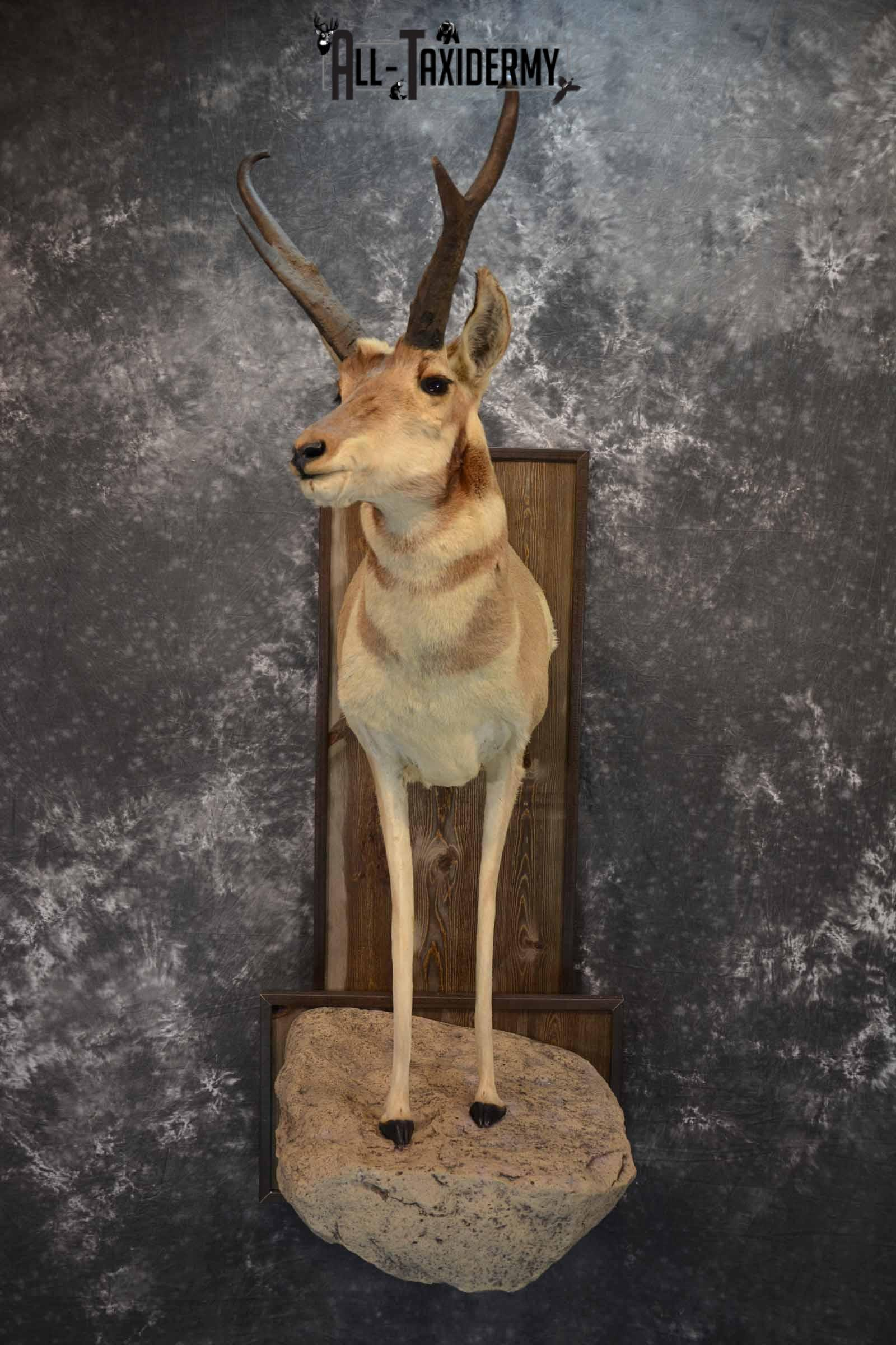Pronghorn Antelope Taxidermy Mount for Sale SKU 1344