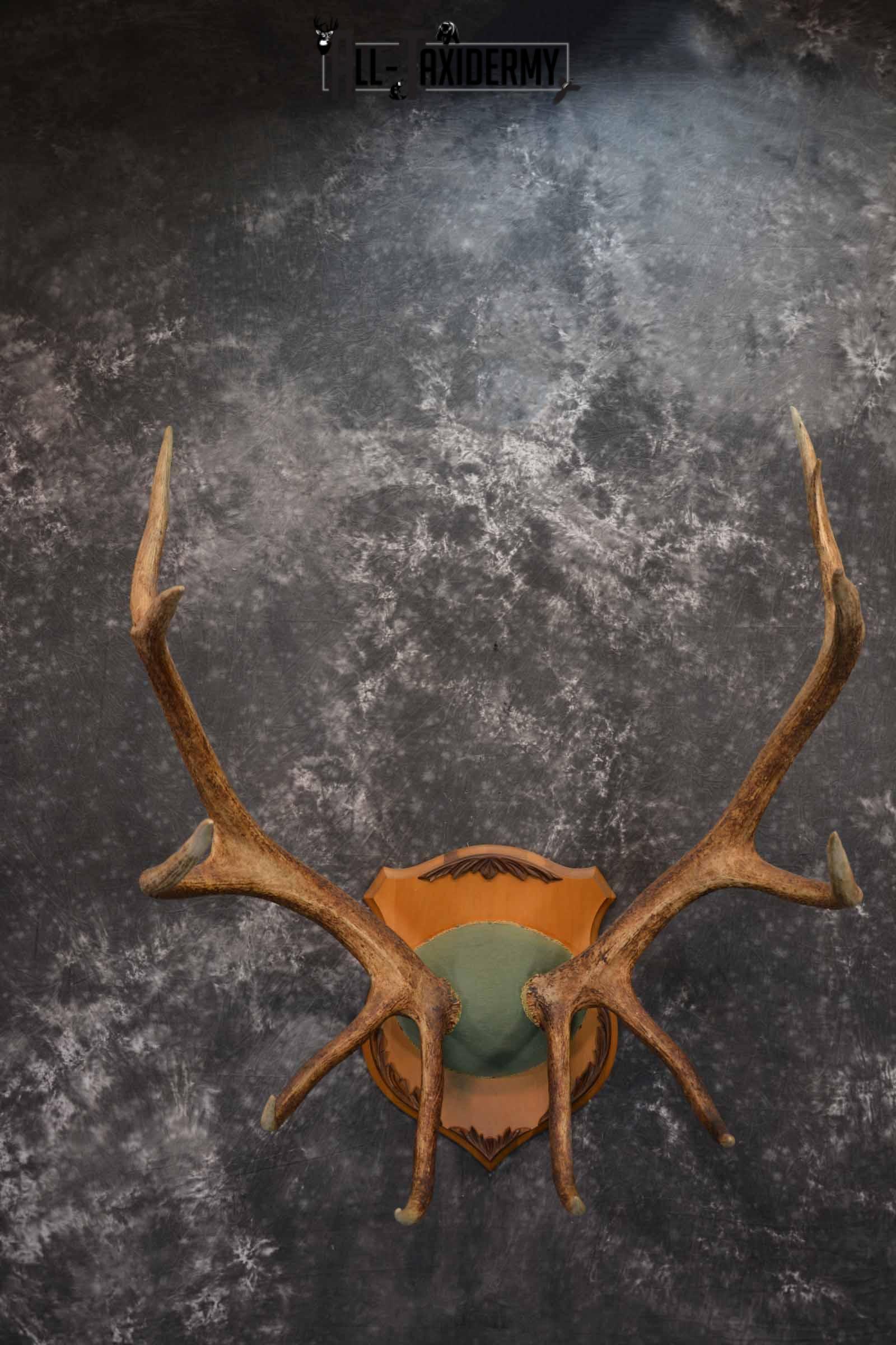Elk Antler Plaque for Sale SKU 1346