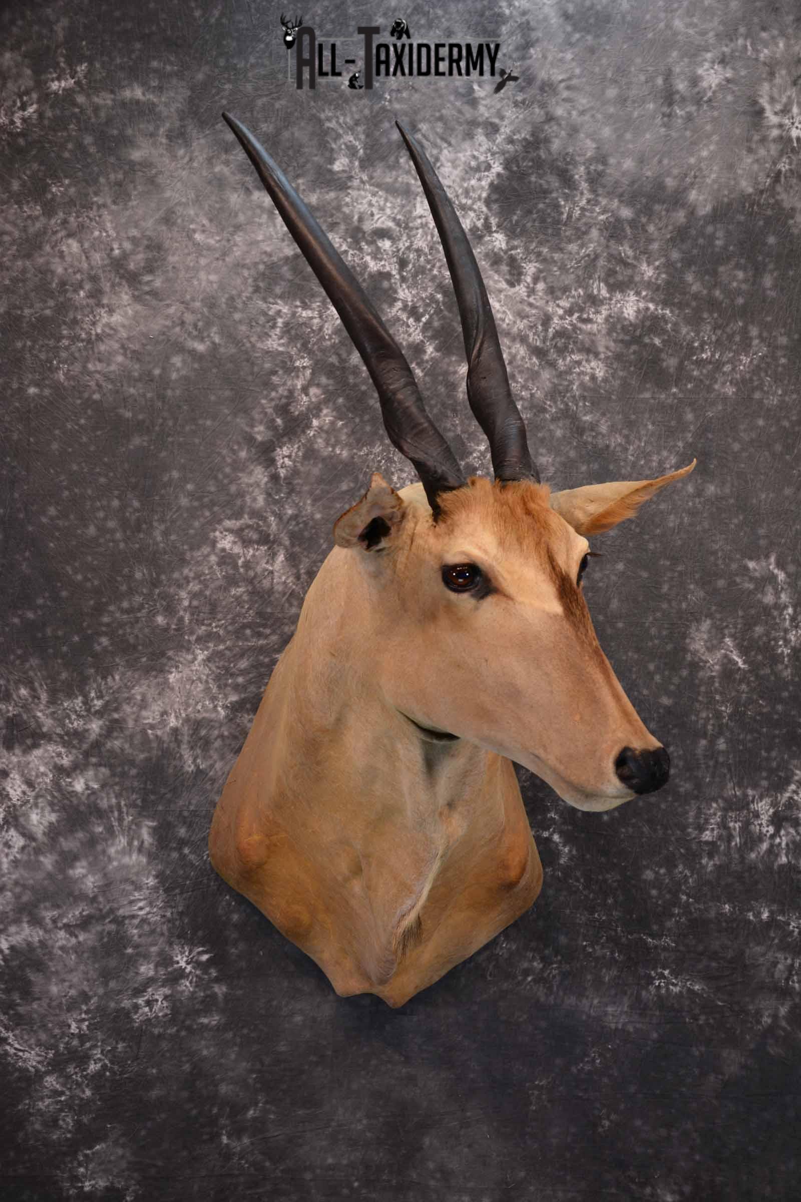 African Eland Taxidermy Shoulder Mount for Sale SKU 1341