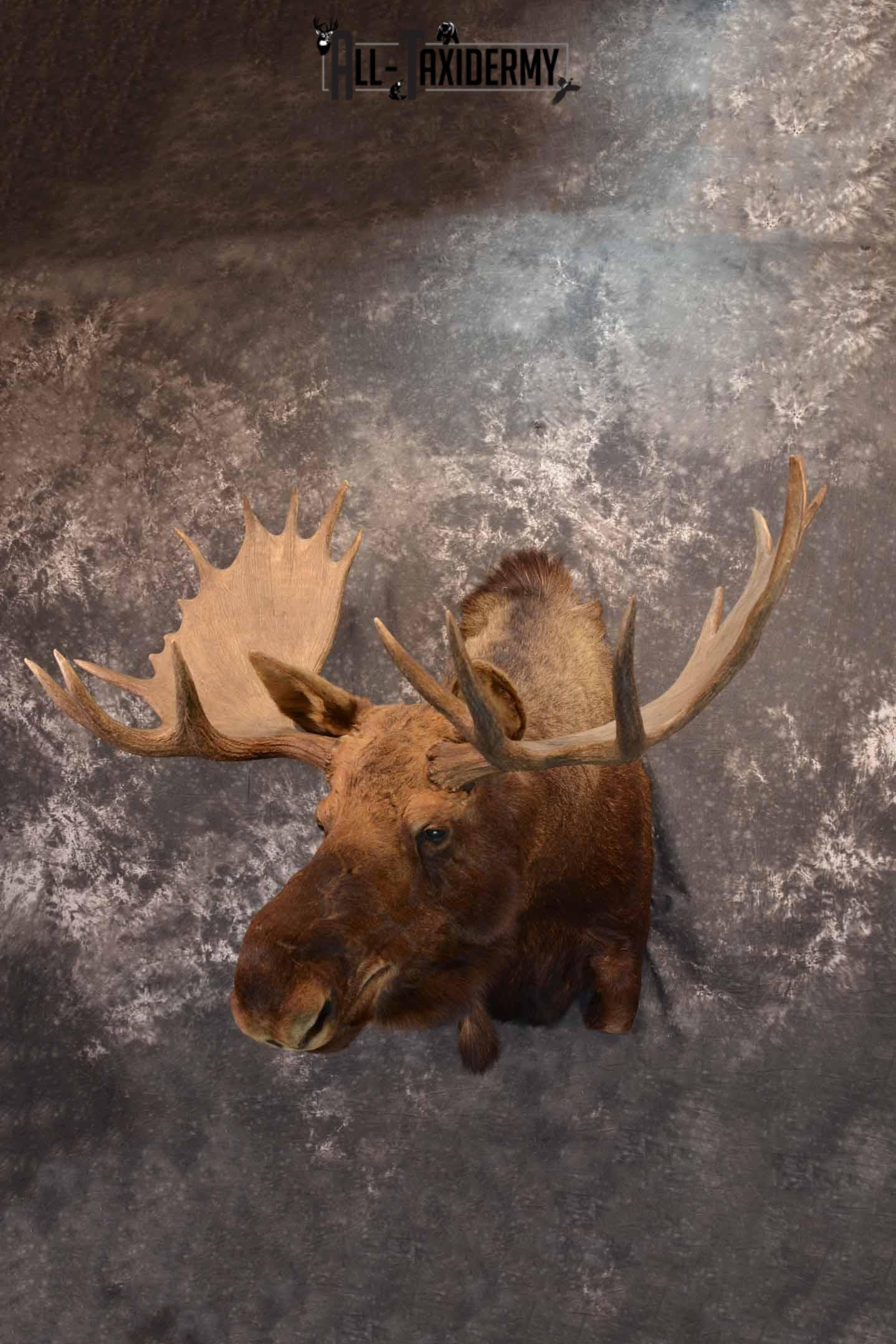 Alaskan Moose Taxidermy Shoulder Mount for Sale SKU 1349