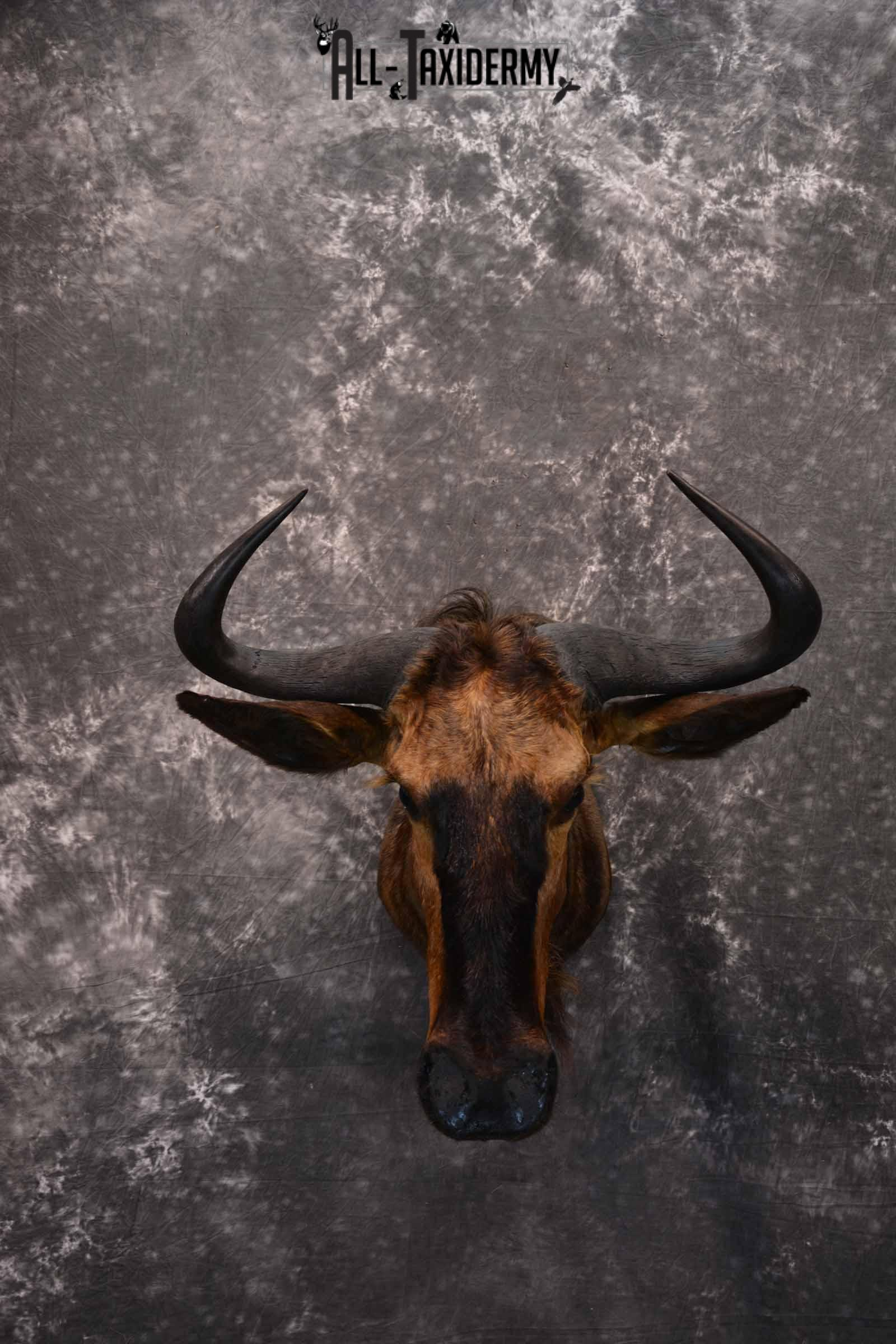 African Blue Wildebeest Taxidermy mount for Sale SKU 1334