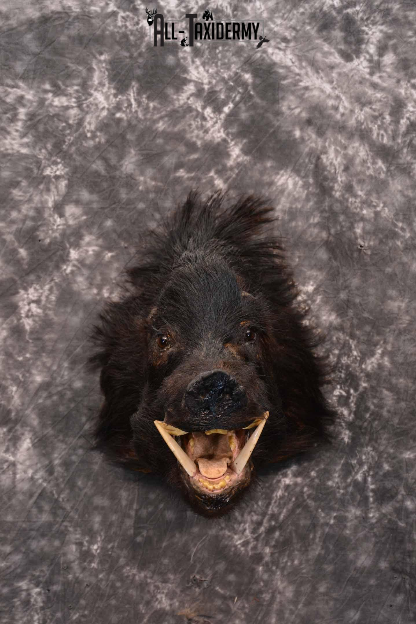 Wild Boar Taxidermy Mount for Sale SKU 1337