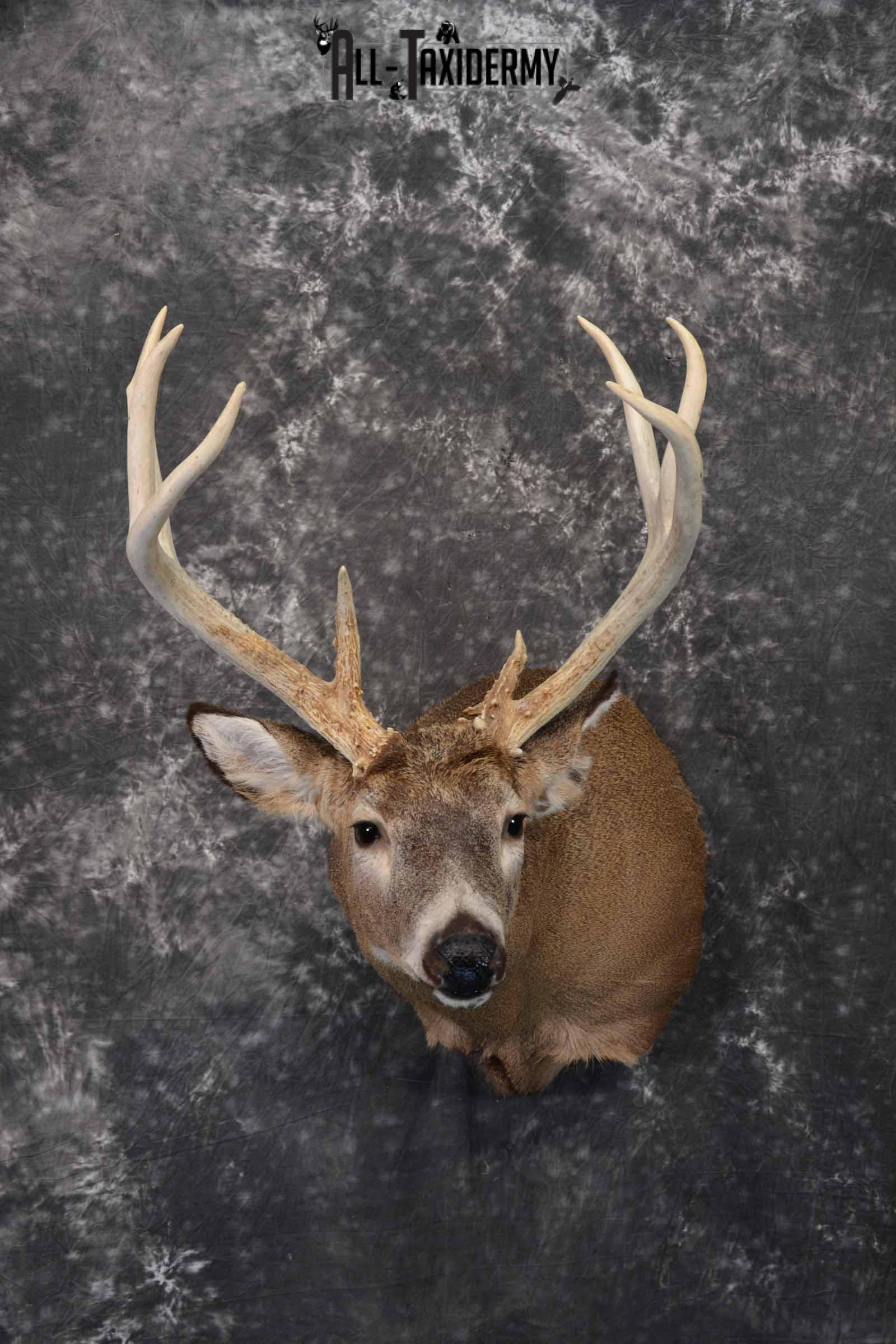 Whitetail Deer Taxidermy shoulder mount for sale SKU 1322