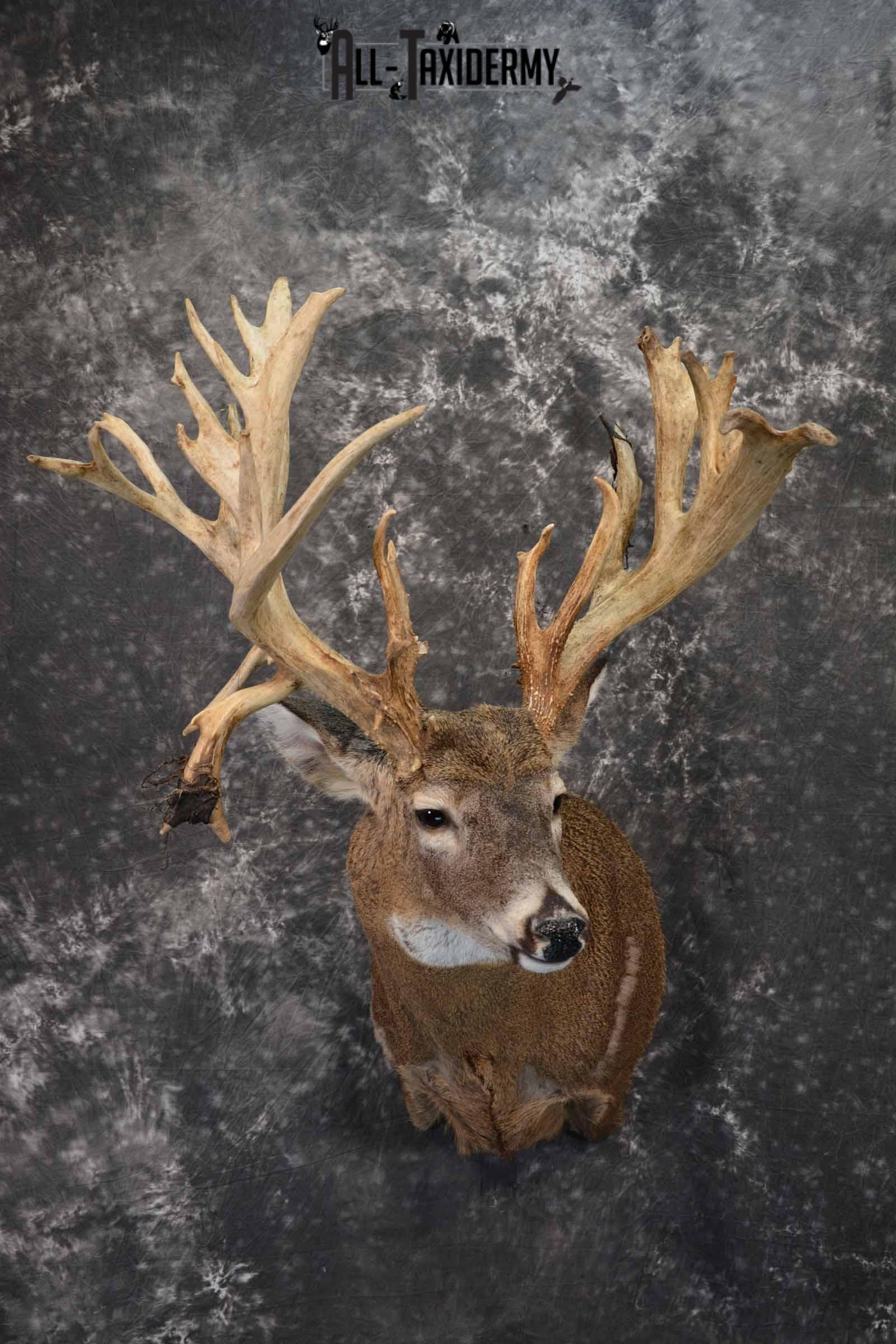 Whitetail Taxidermy Shoulder Mount for Sale SKU 1315
