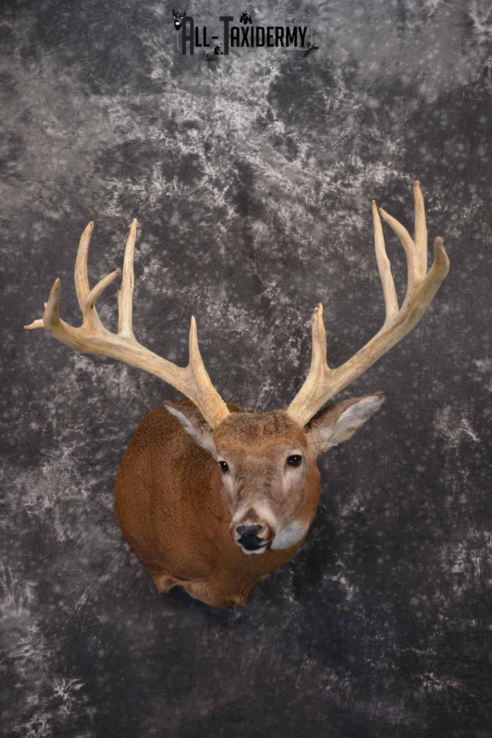 Whitetail Deer taxidermy shoulder mount for sale SKU 1319