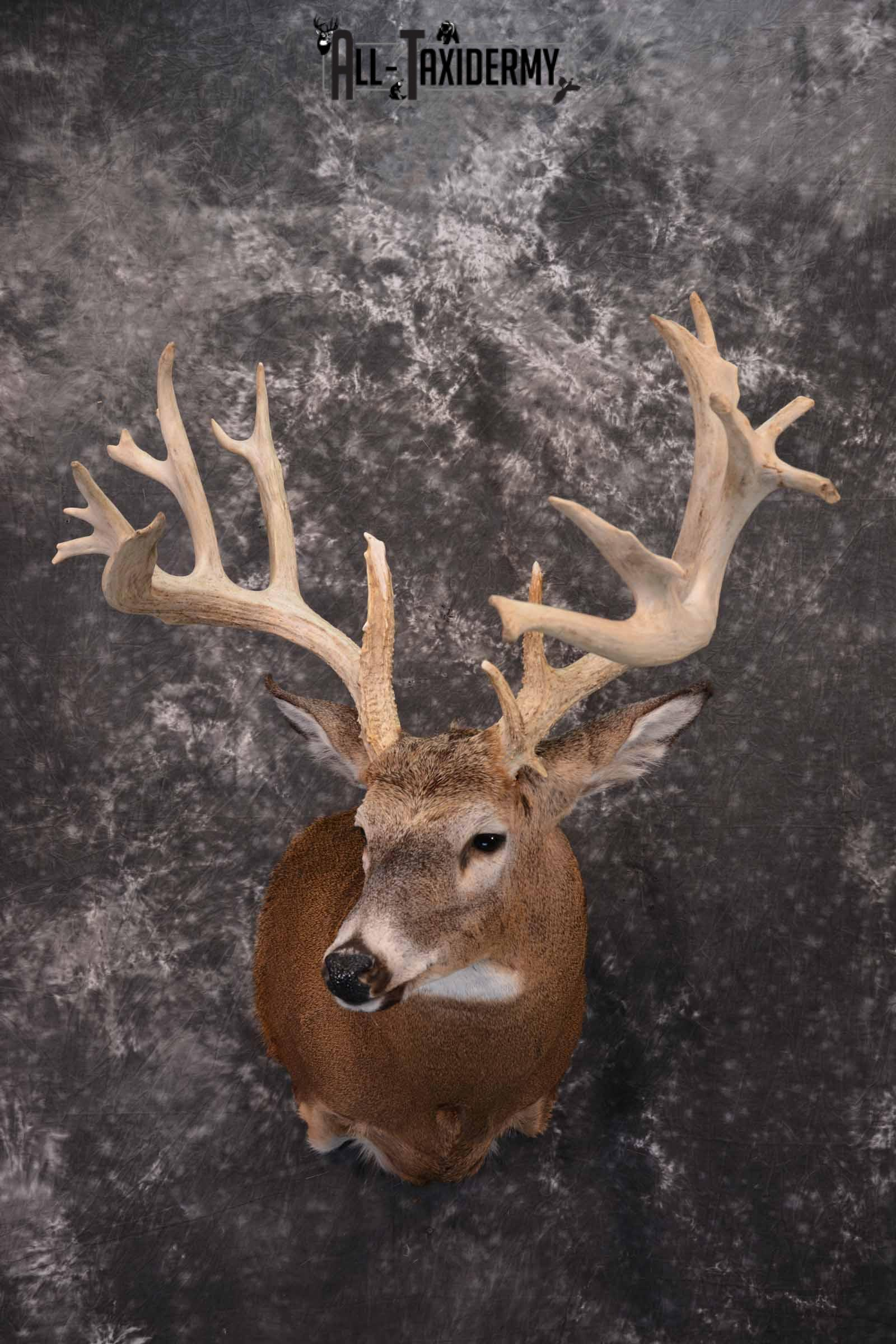 Whitetail Deer Taxidermy shoulder mount for sale SKU 1321