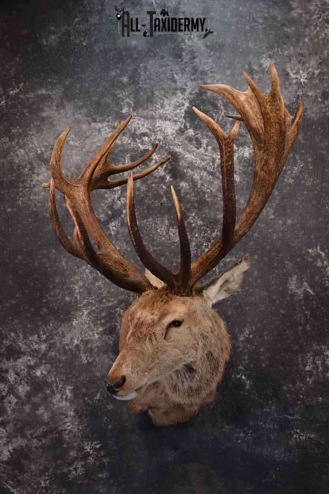 Red Stag taxidermy shoulder mount SKU 1370