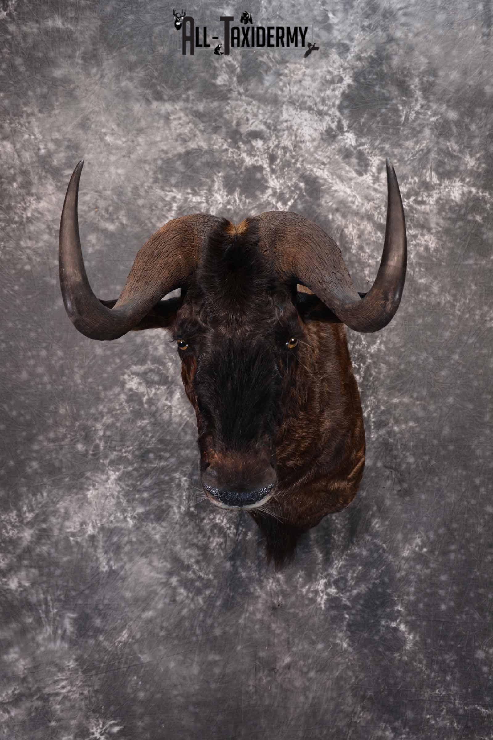 African Black Wildebeest taxidermy shoulder mount for sale SKU 1374