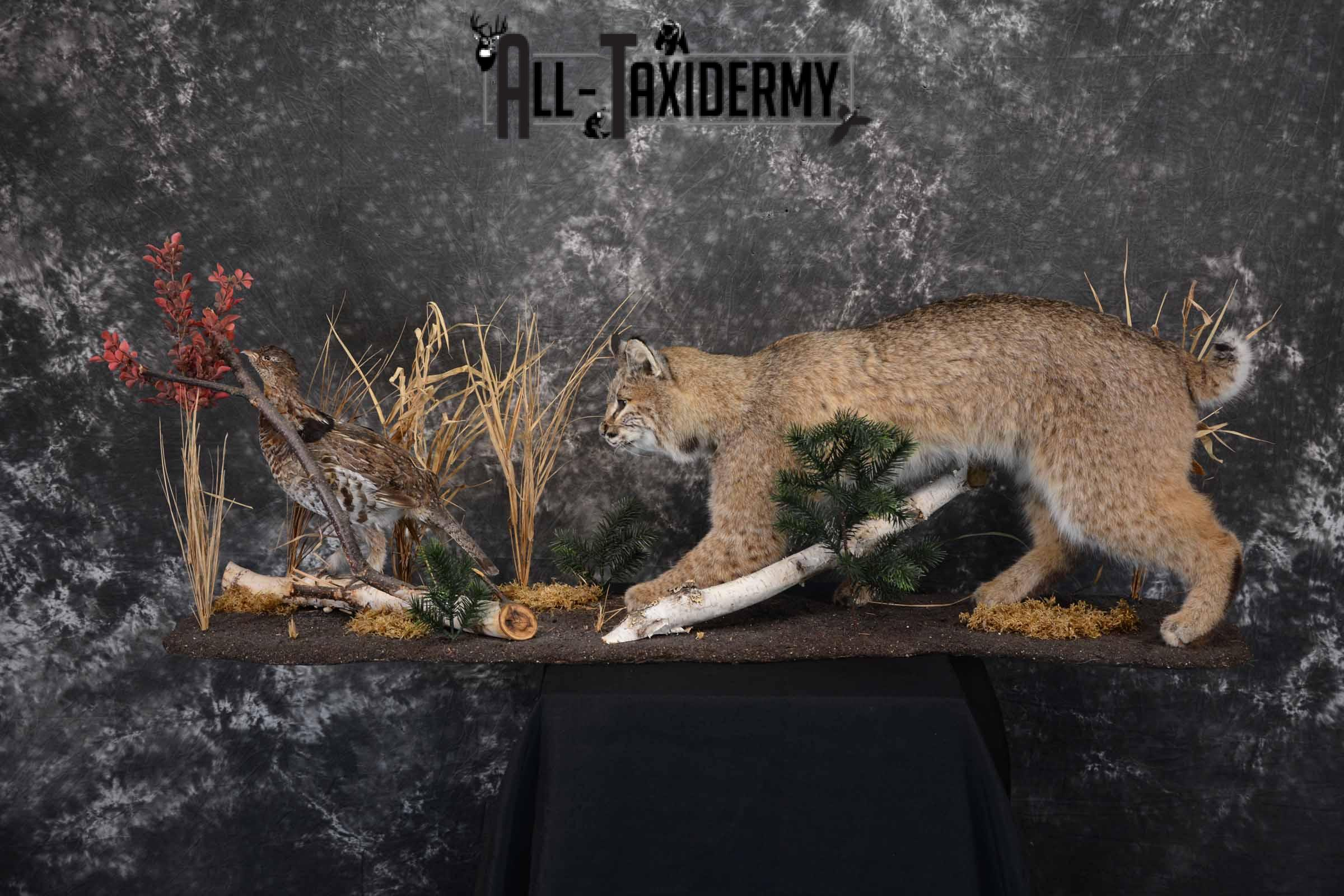 Bobcat and Grouse taxidermy mount for sale SKU 1378