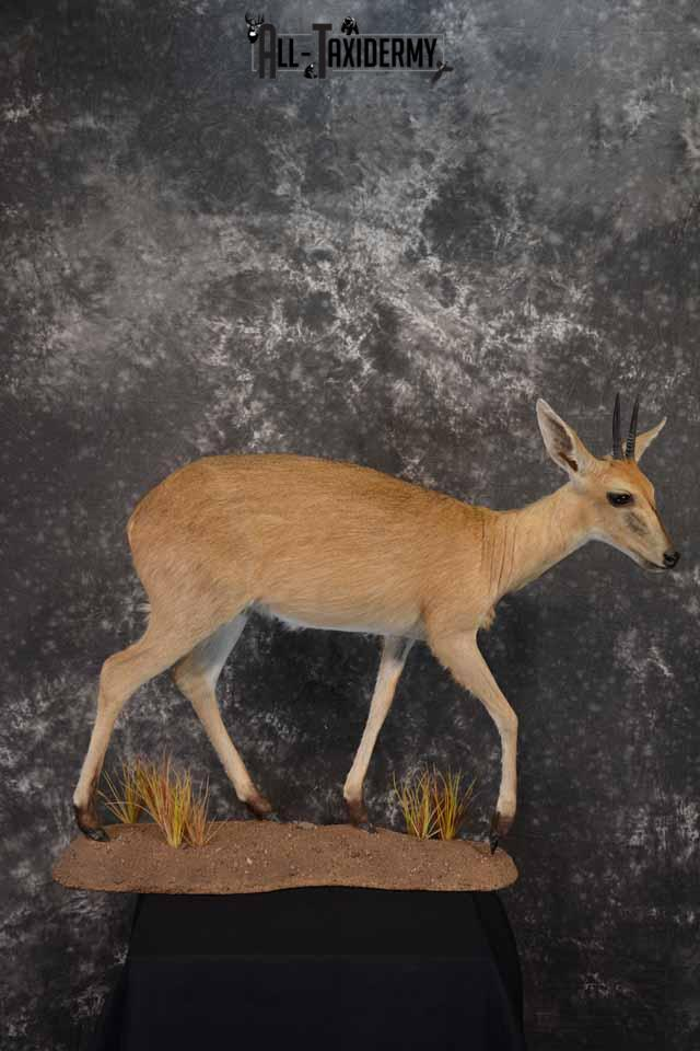 African Steinbok taxidermy mount for sale SKU 1379