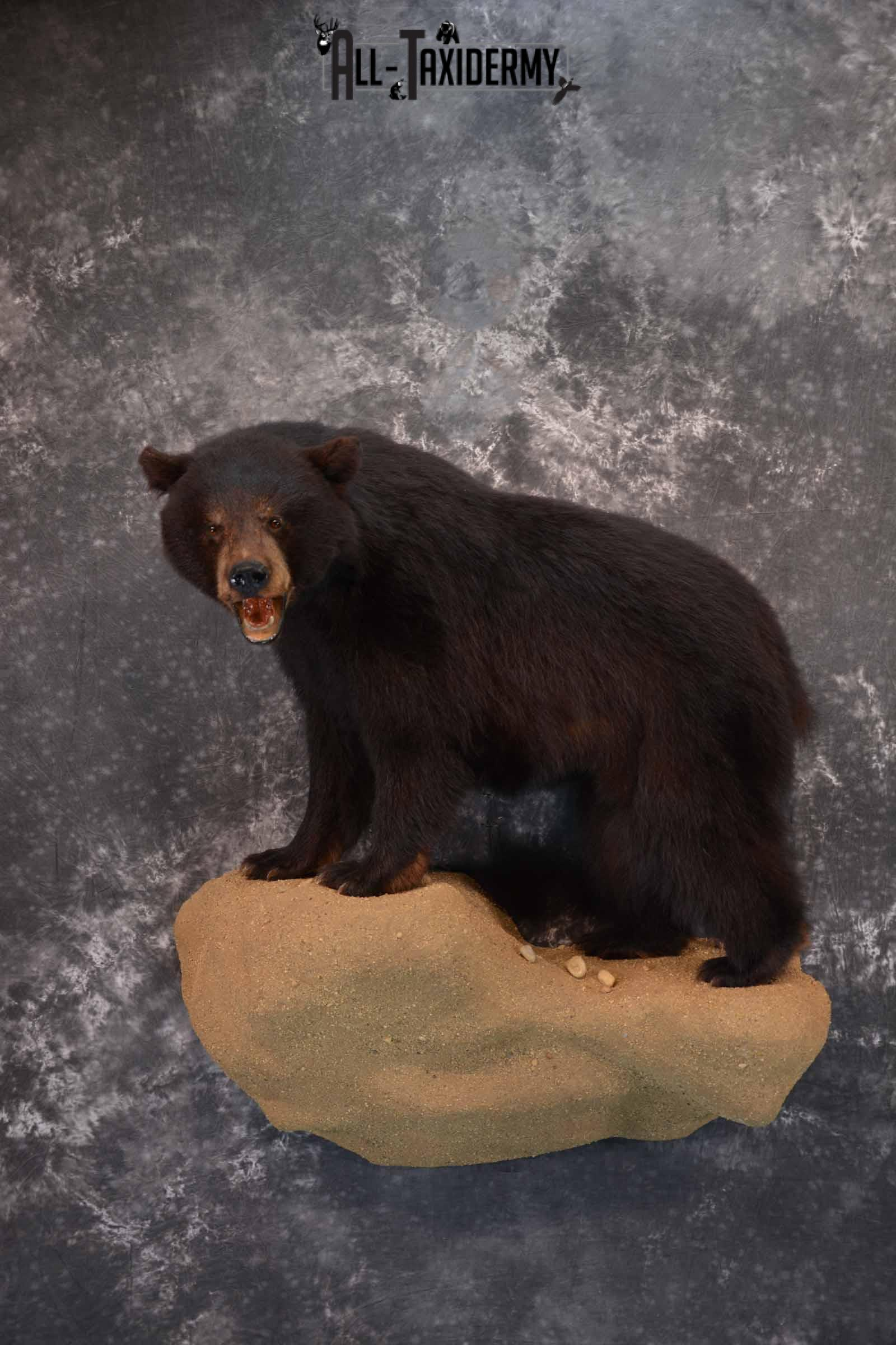 Black Bear Taxidermy Mount for Sale SKU 1343