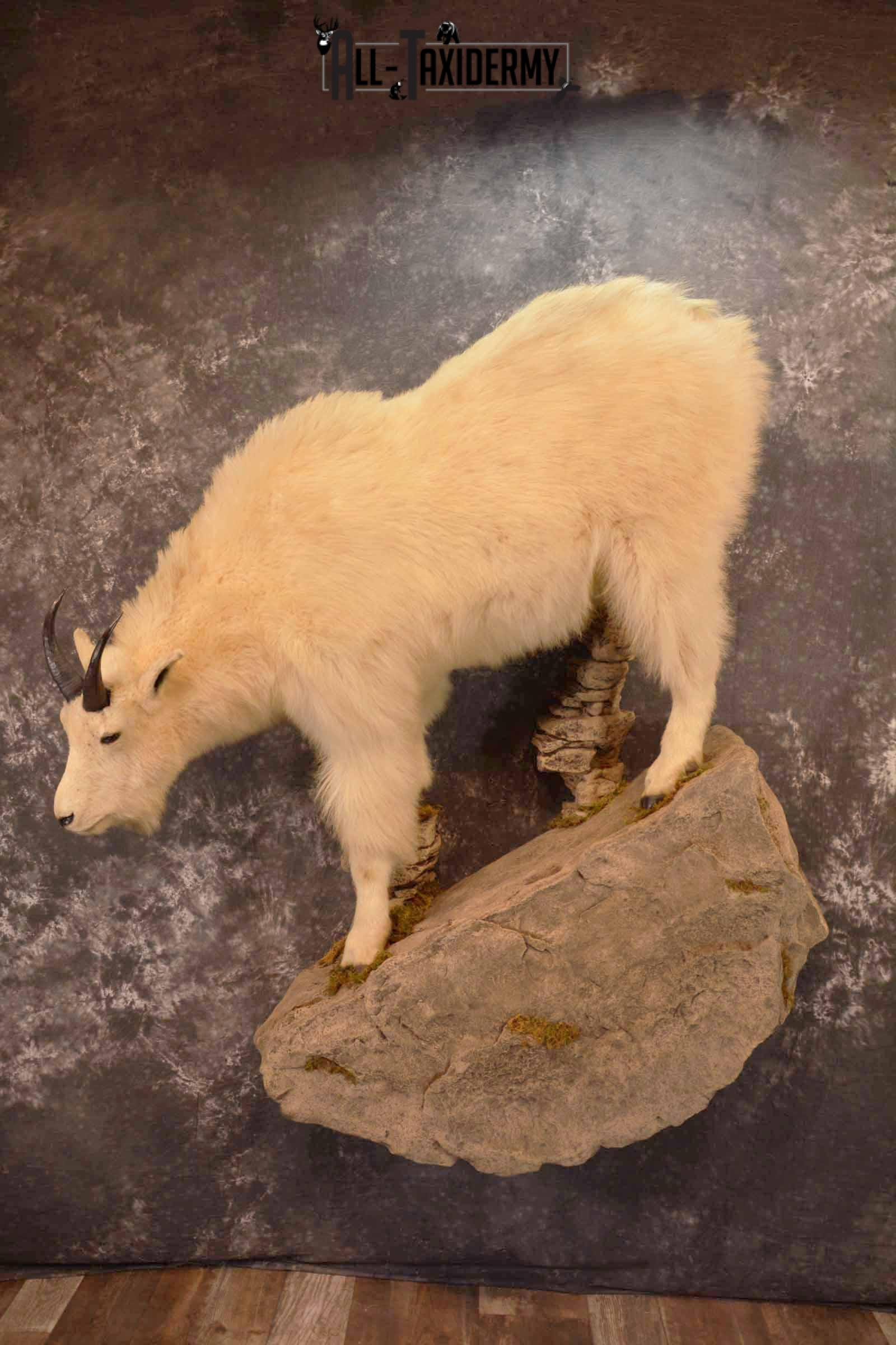 Mountain Goat Taxidermy Mount for Sale SKU 1299