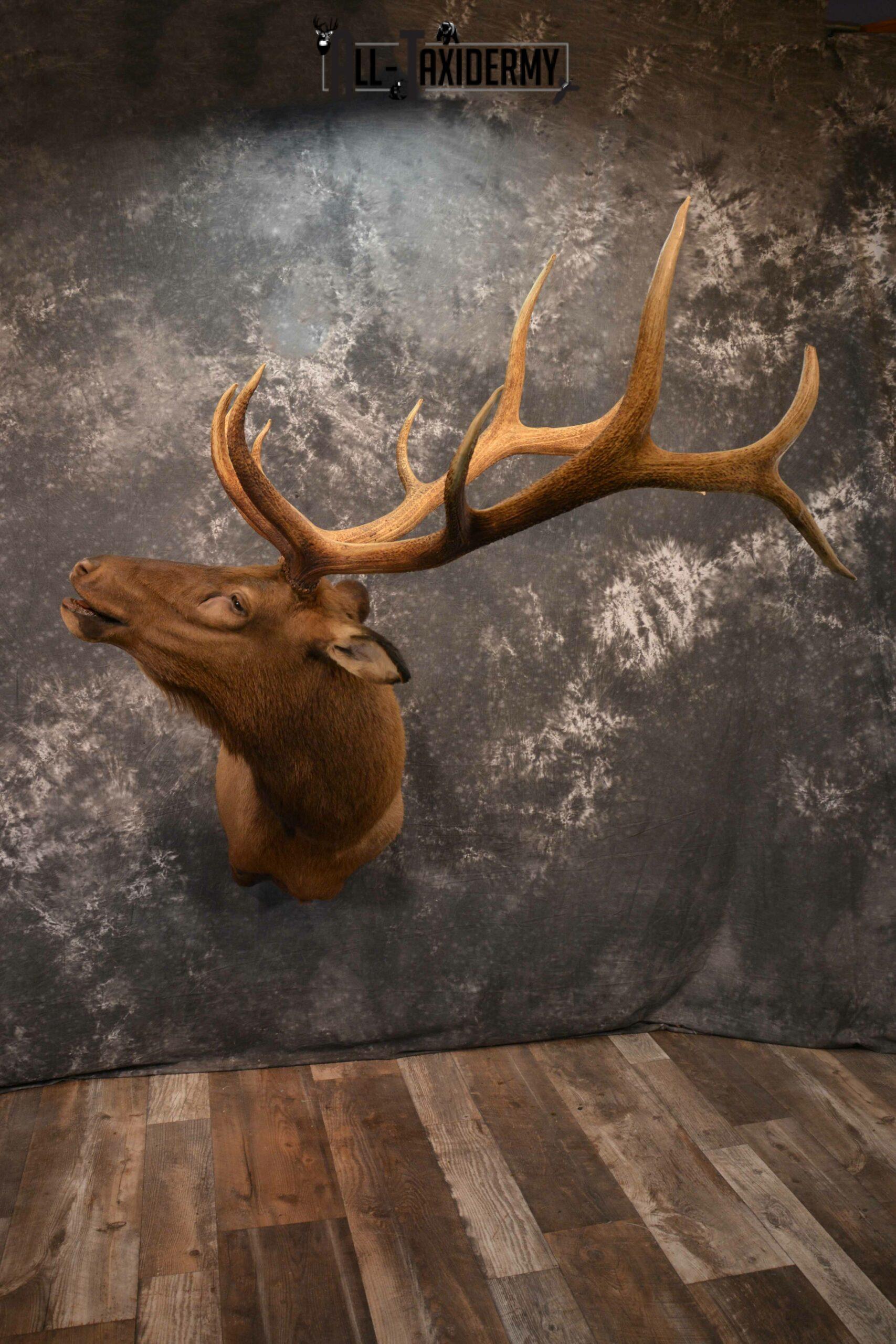 Elk Taxidermy Shoulder Mount for Sale SKU 1261