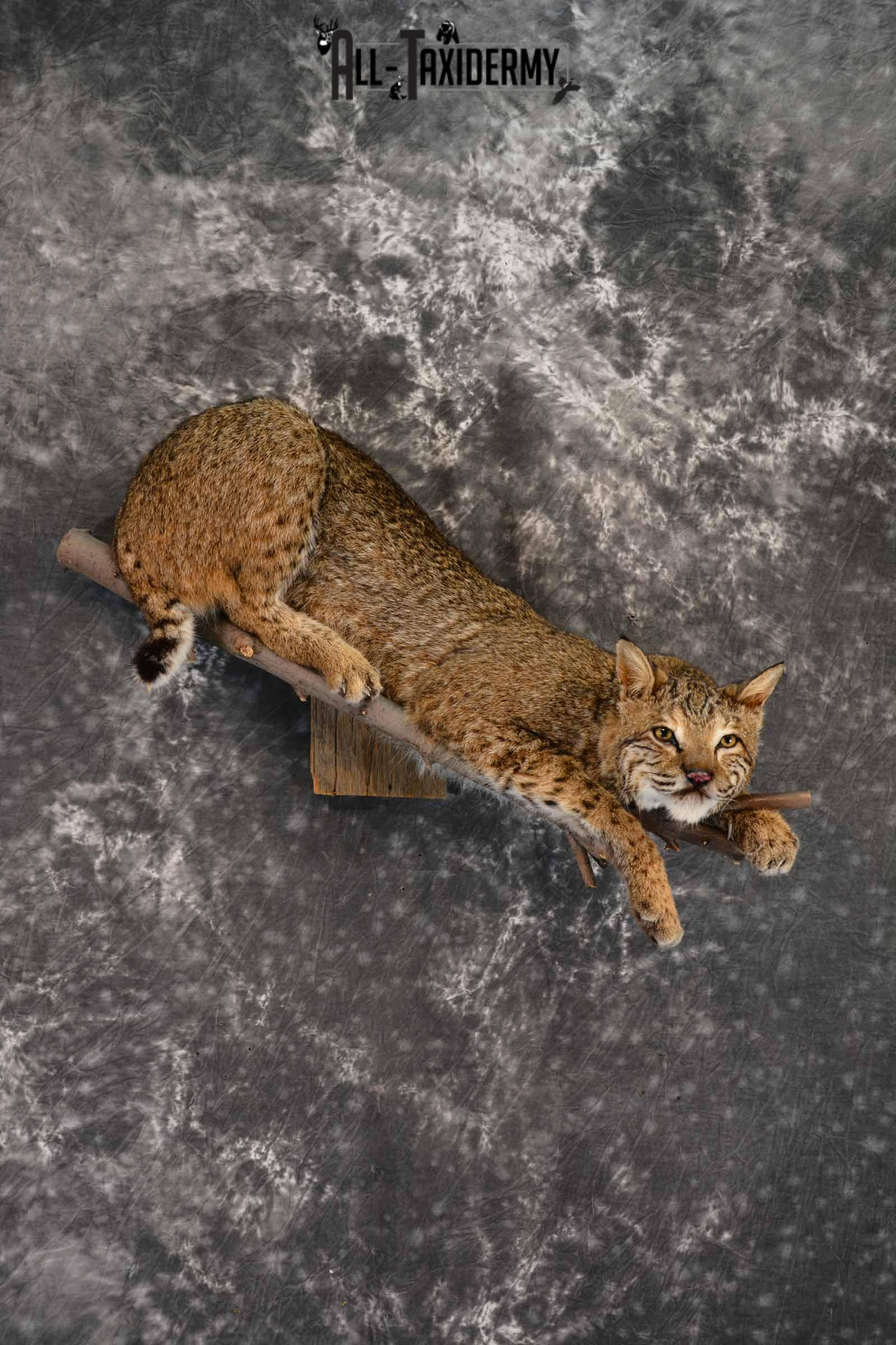 Bobcat Taxidermy mount for sale SKU 1384