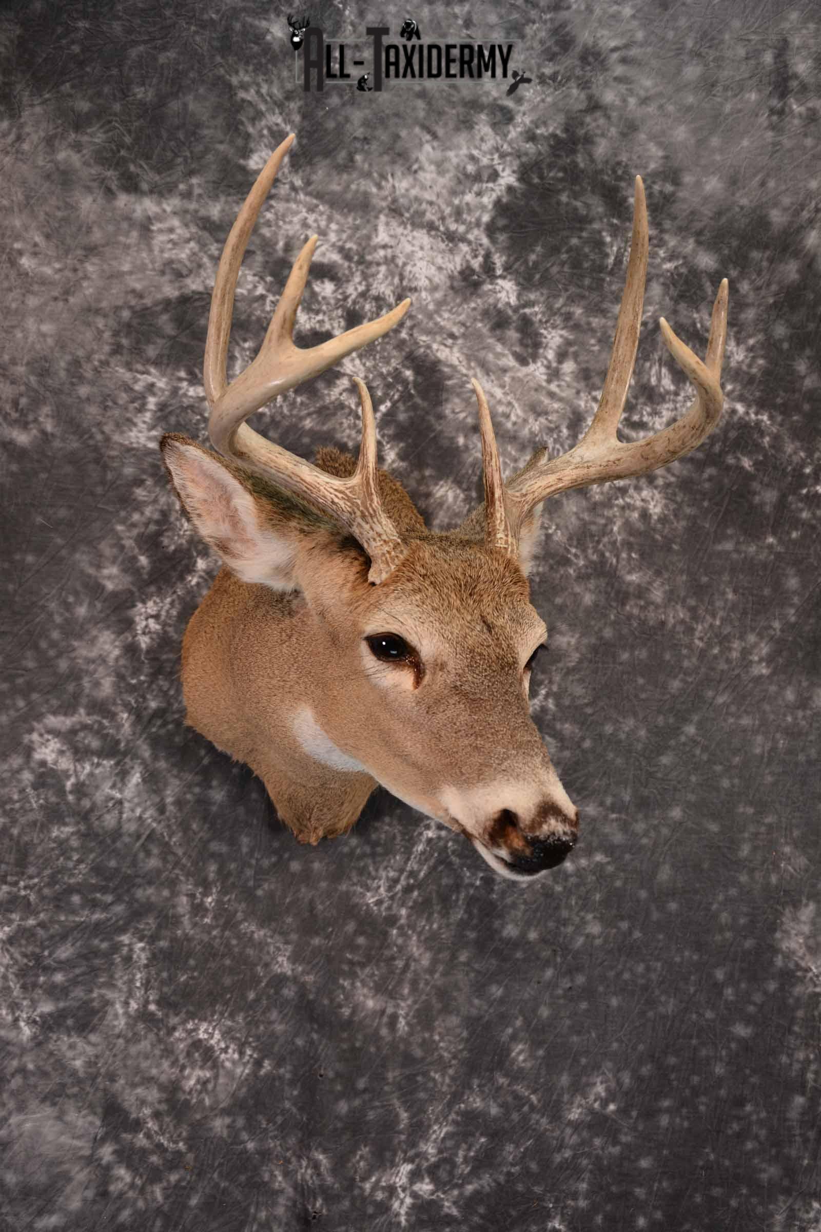 Whitetail Deer Taxidermy Shoulder Mount for Sale SKU 1389