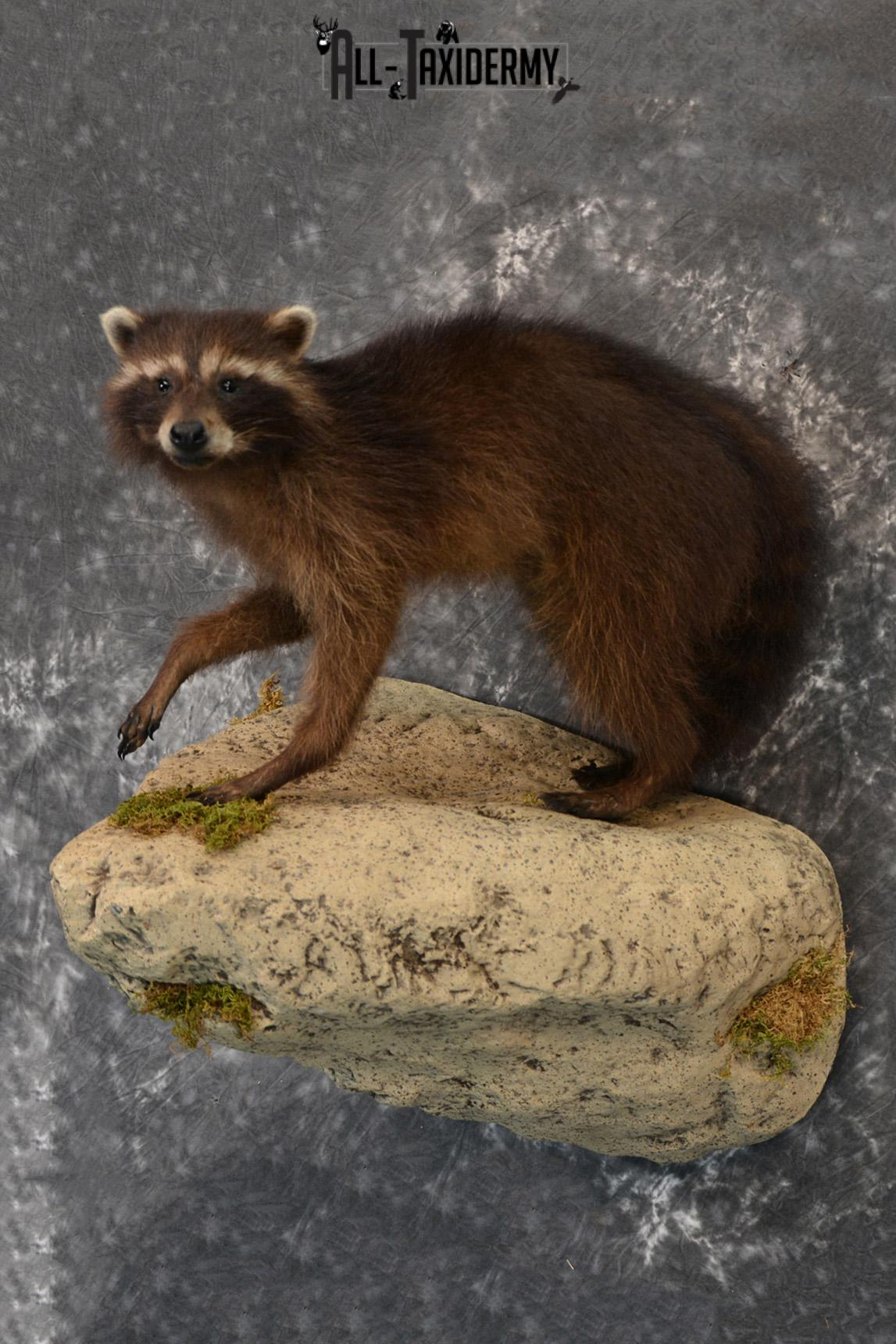 Raccoon Black Life Size Taxidermy Mount for Sale SKU 1388