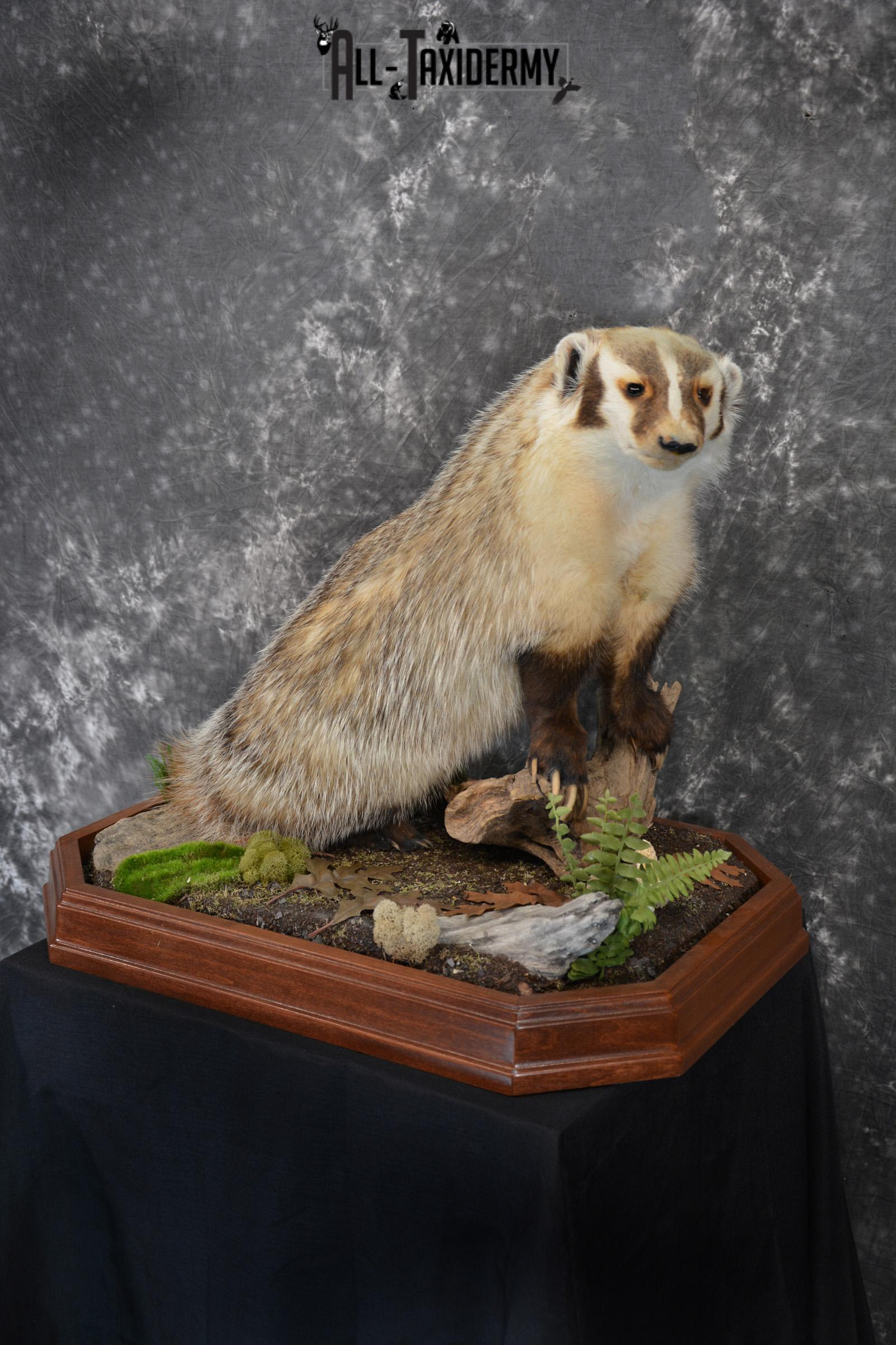 Badger life size taxidermy mount for sale SKU 1411