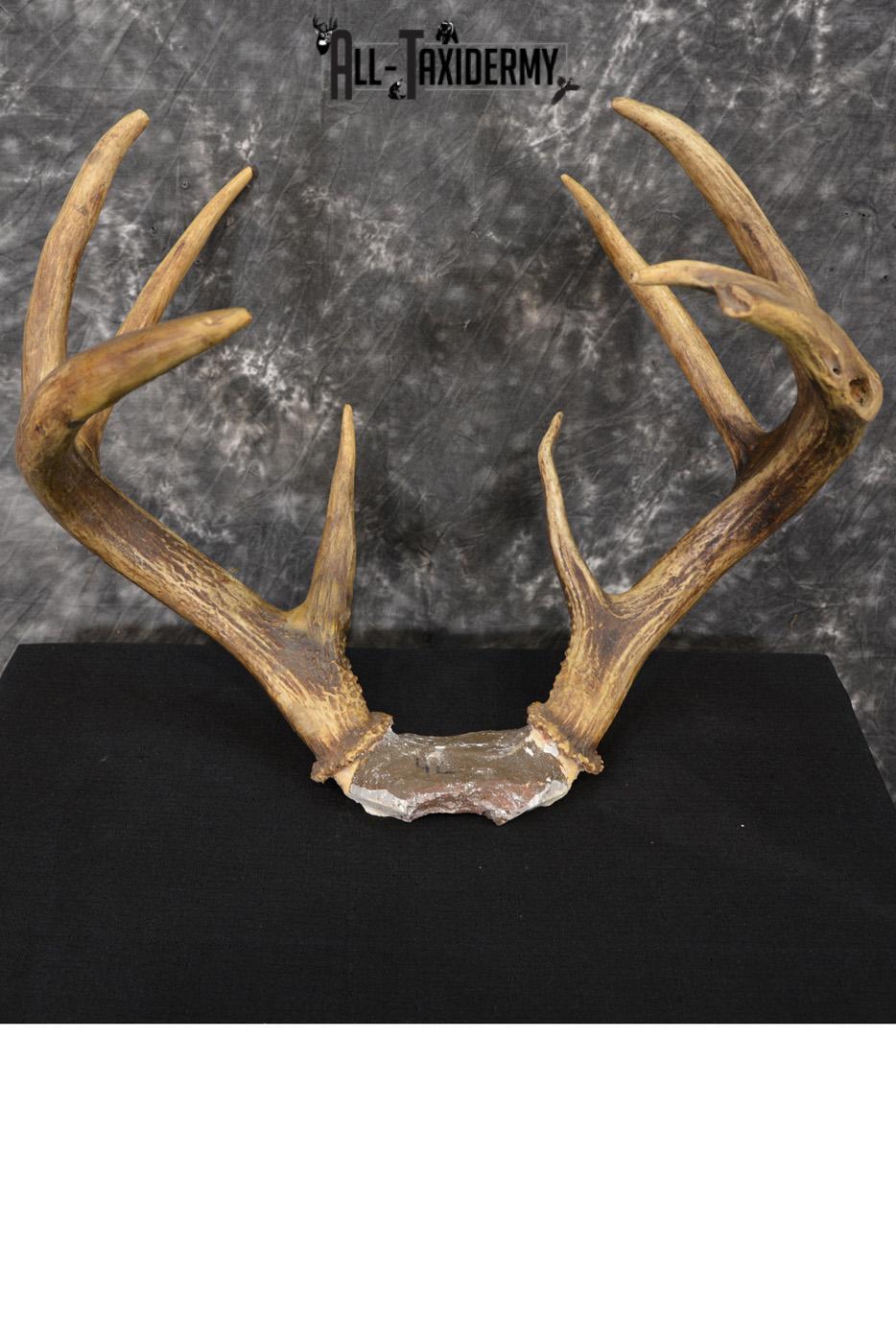 Whitetail Deer antler skull cap 8 point buck SKU 1418