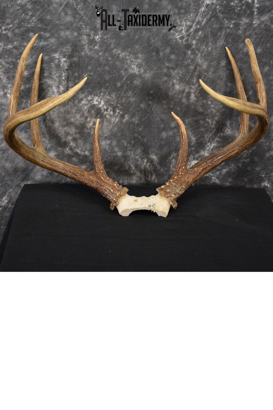 Whitetail Deer antler skull cap 8 pointer for sale SKU 1419