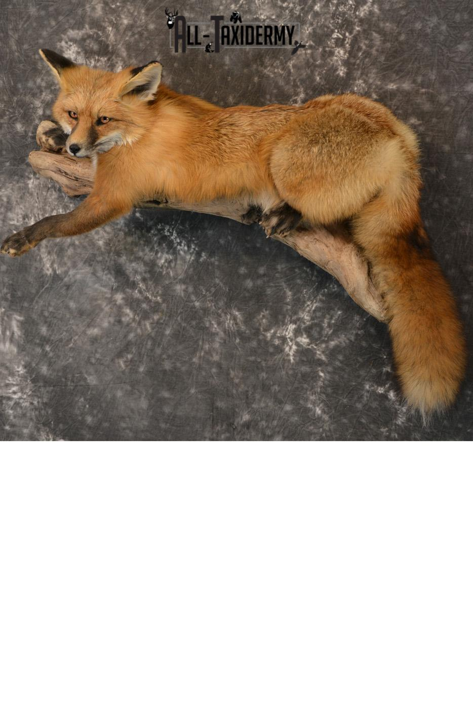 Red Fox life size taxidermy mount for sale SKU 1408