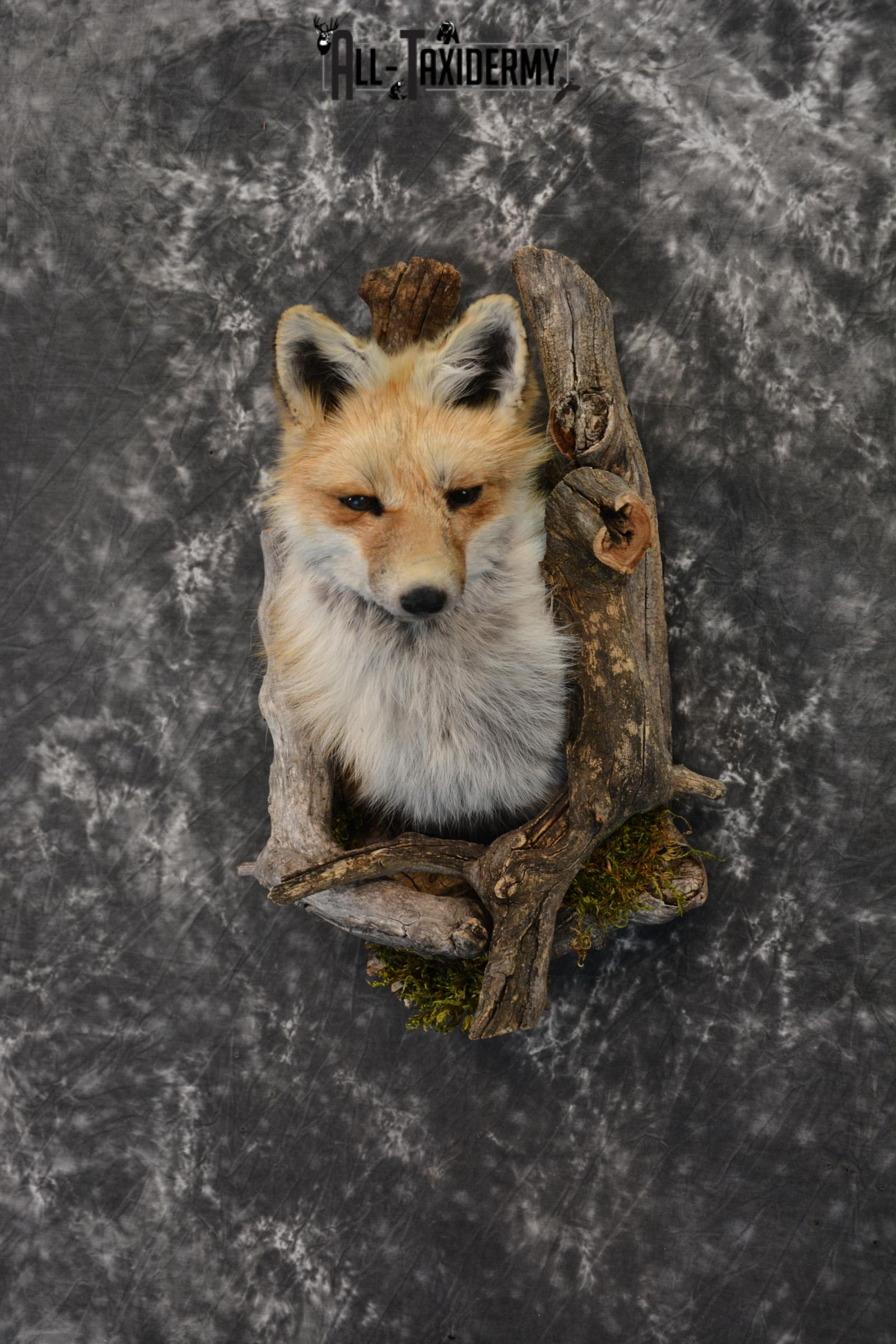 Red Fox taxidermy mount in a den mount SKU 1409