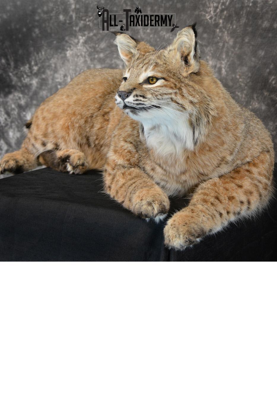 Bobcat Taxidermy Mount life size SKU 1410