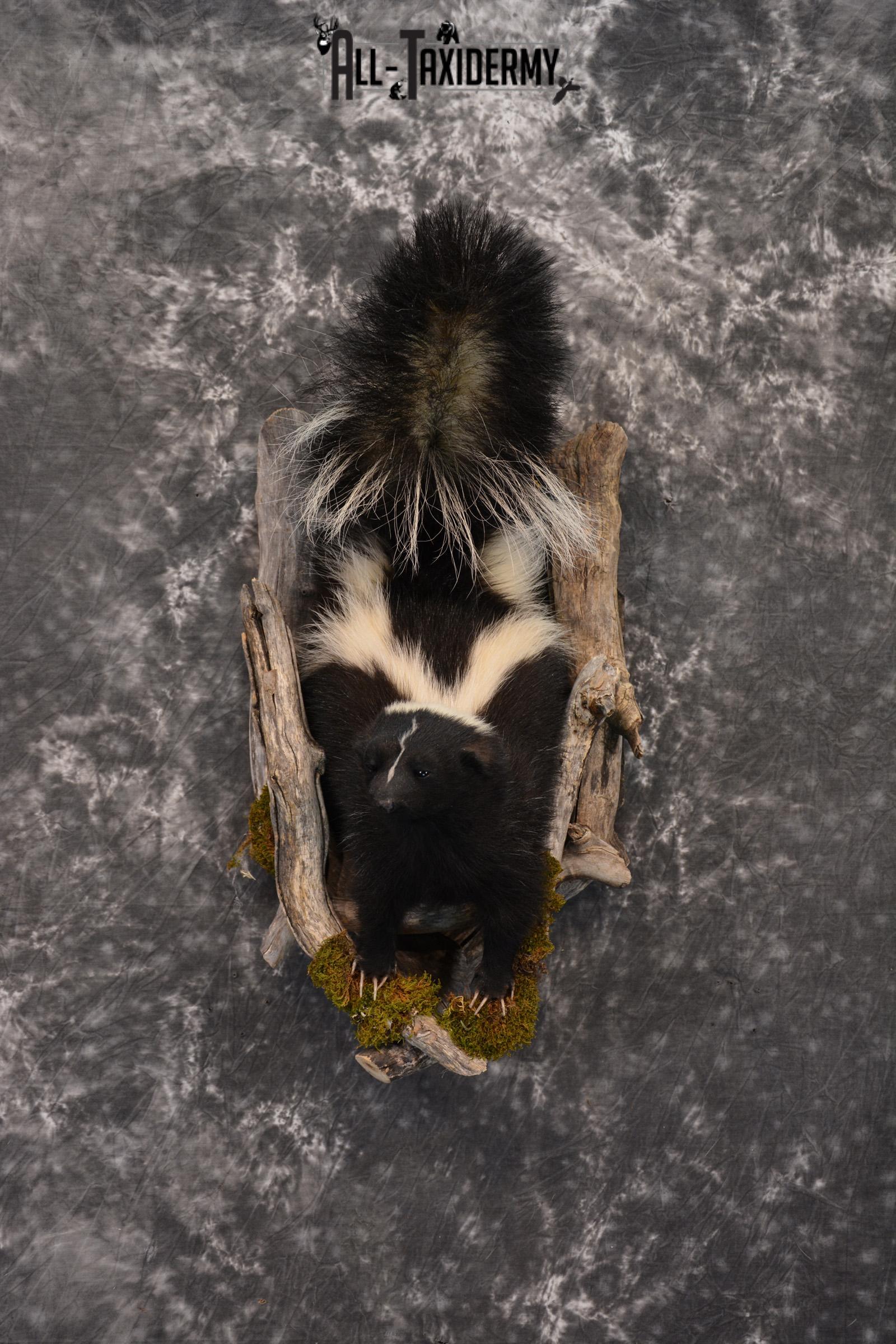 Skunk taxidermy mount in a den SKU 1415