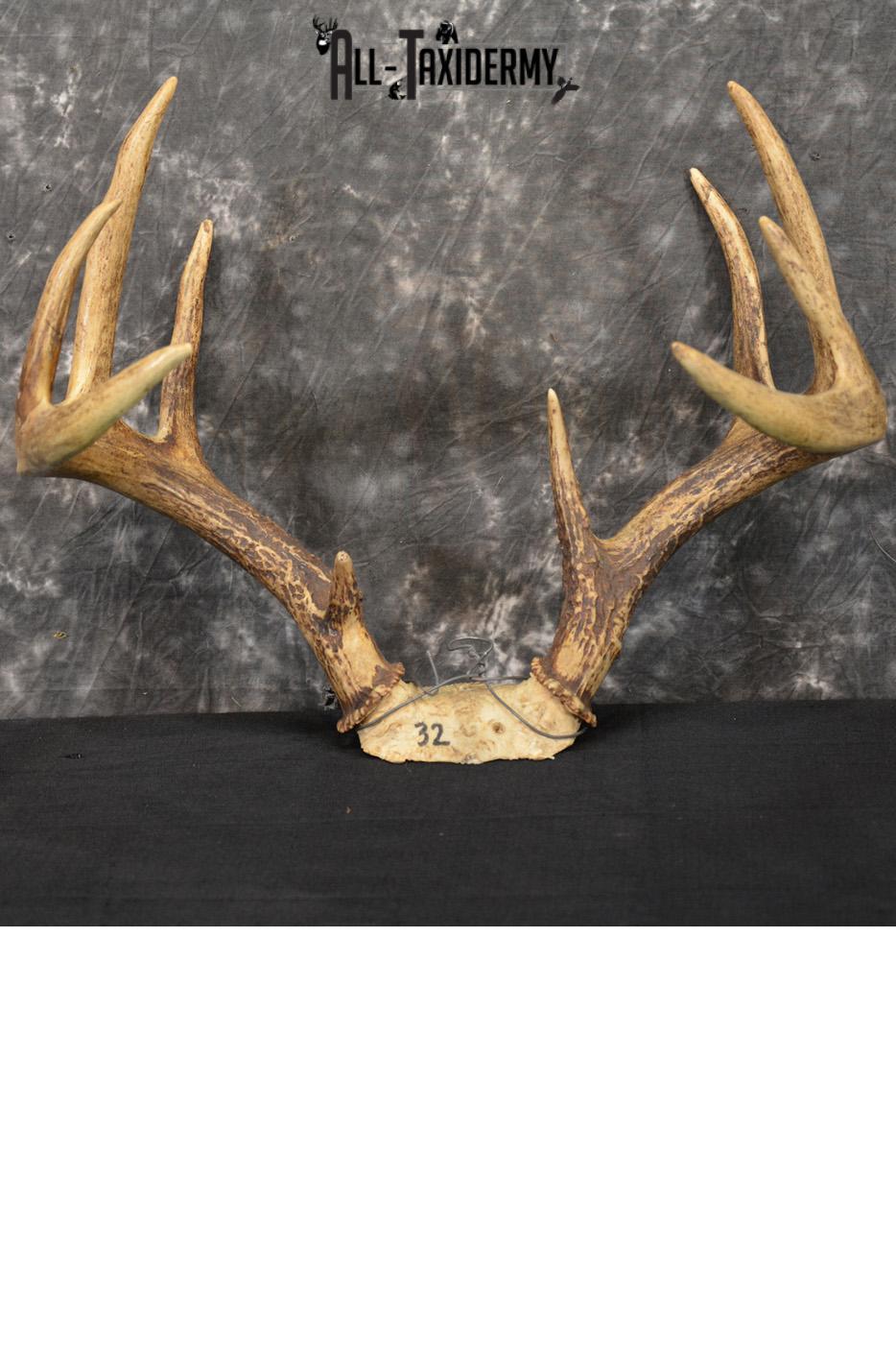 Whitetail deer antler skull cap 10 Point buck SKU 1417