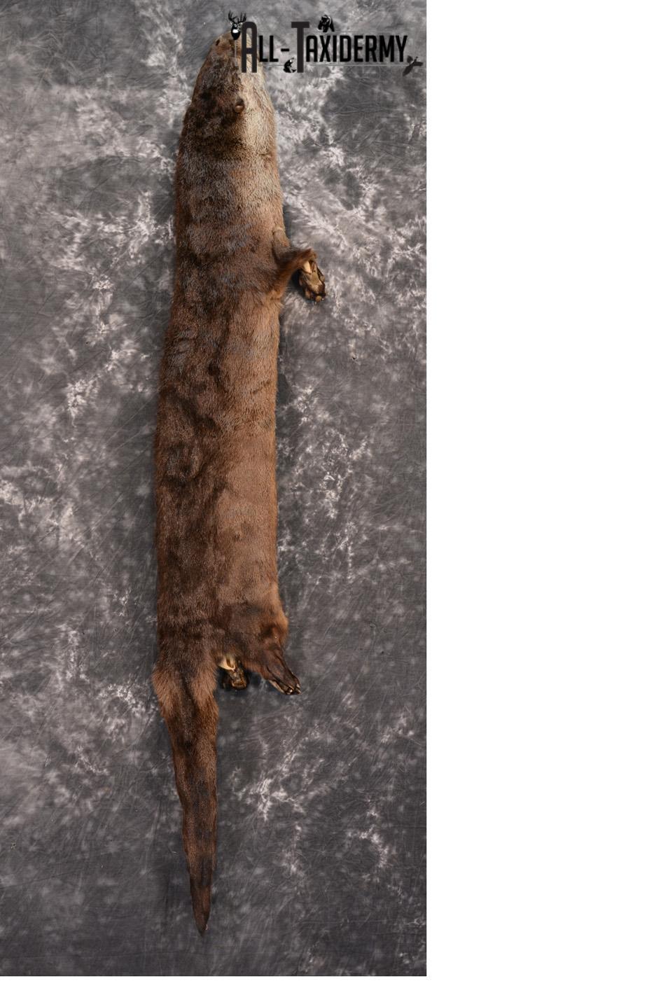 Otter hide pelt for sale SKU 1426