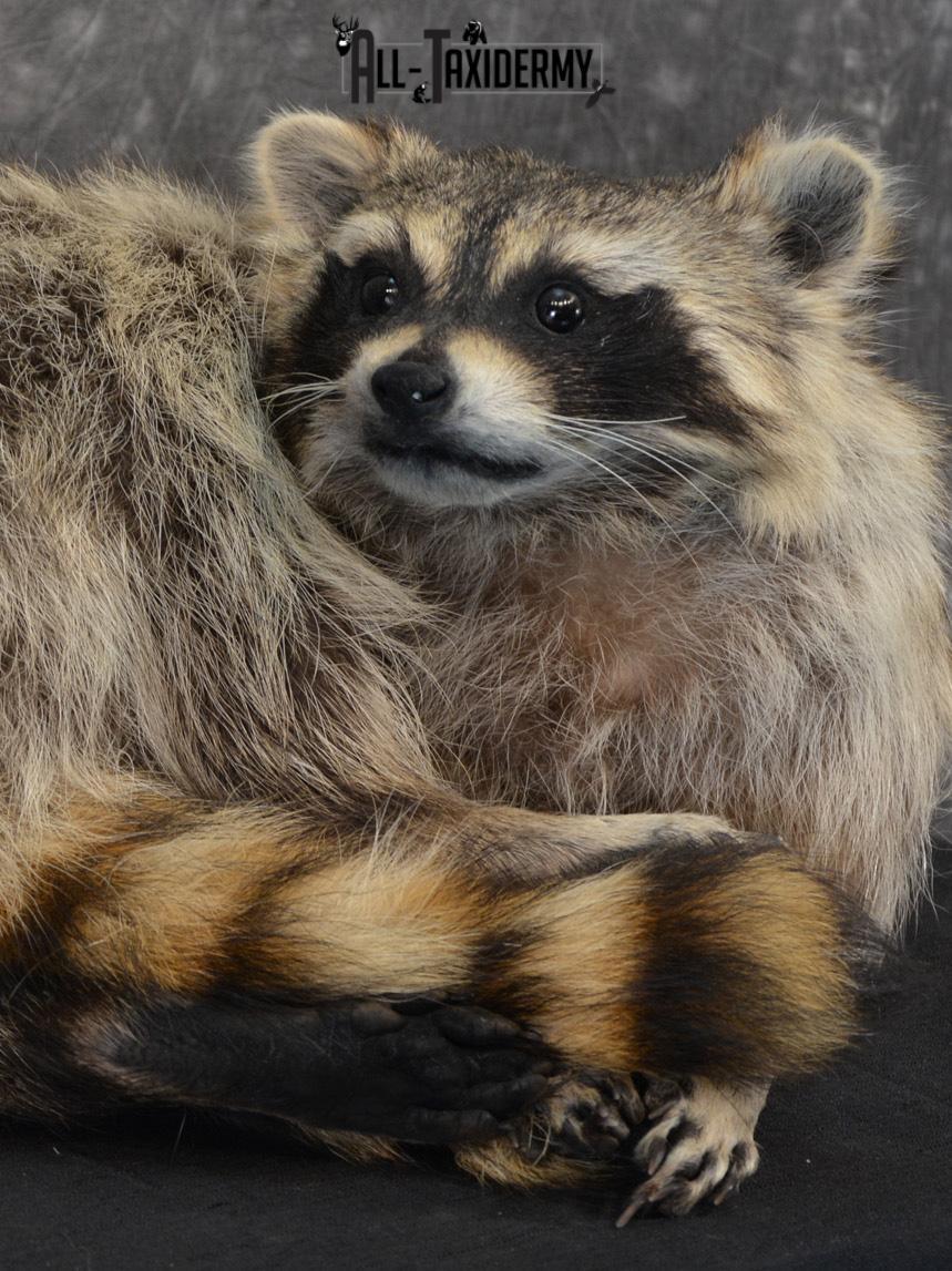 Raccoon Taxidermy Mount SKU 1400