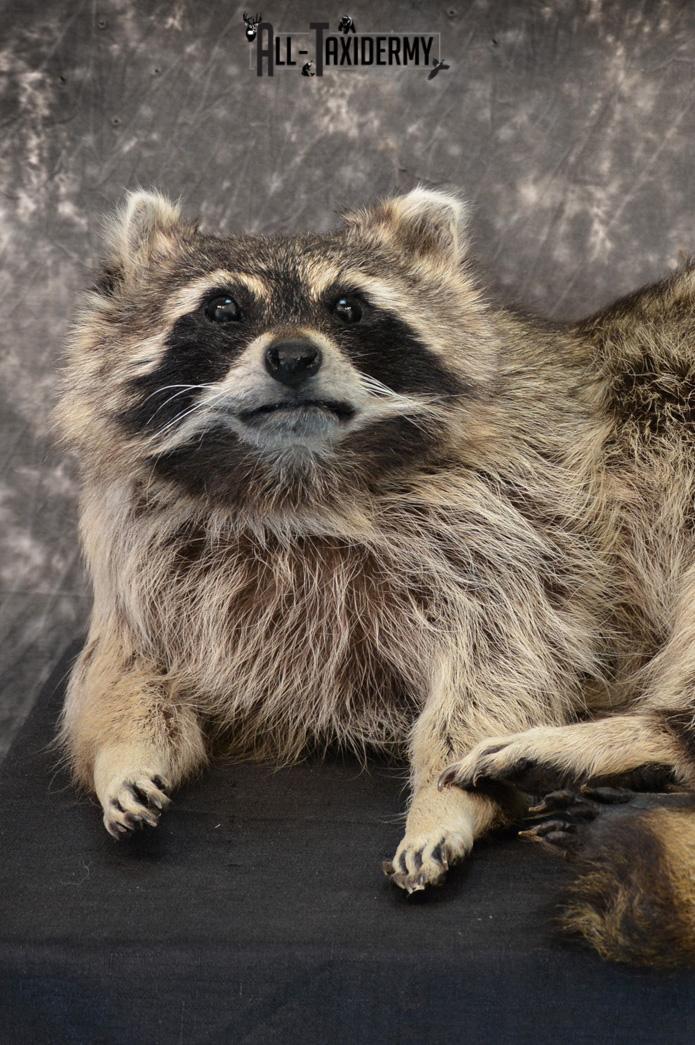 Raccoon Taxidermy Mount for Sale SKU 1399