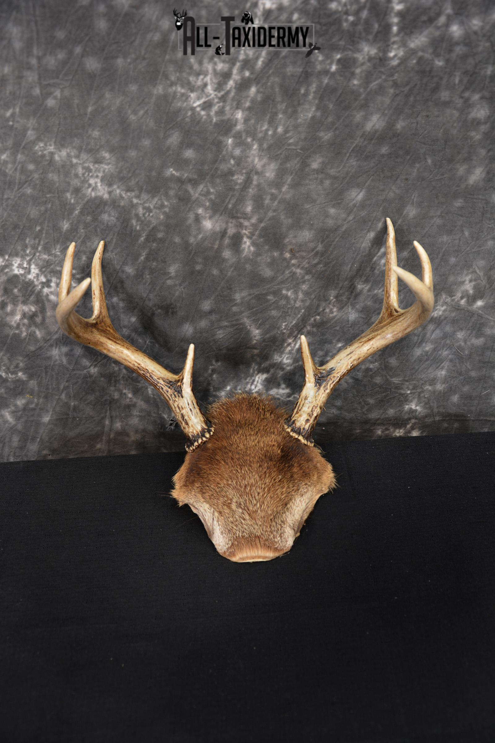 Whitetail Deer 8 point Taxidermy skull cap with hair SKU 1441