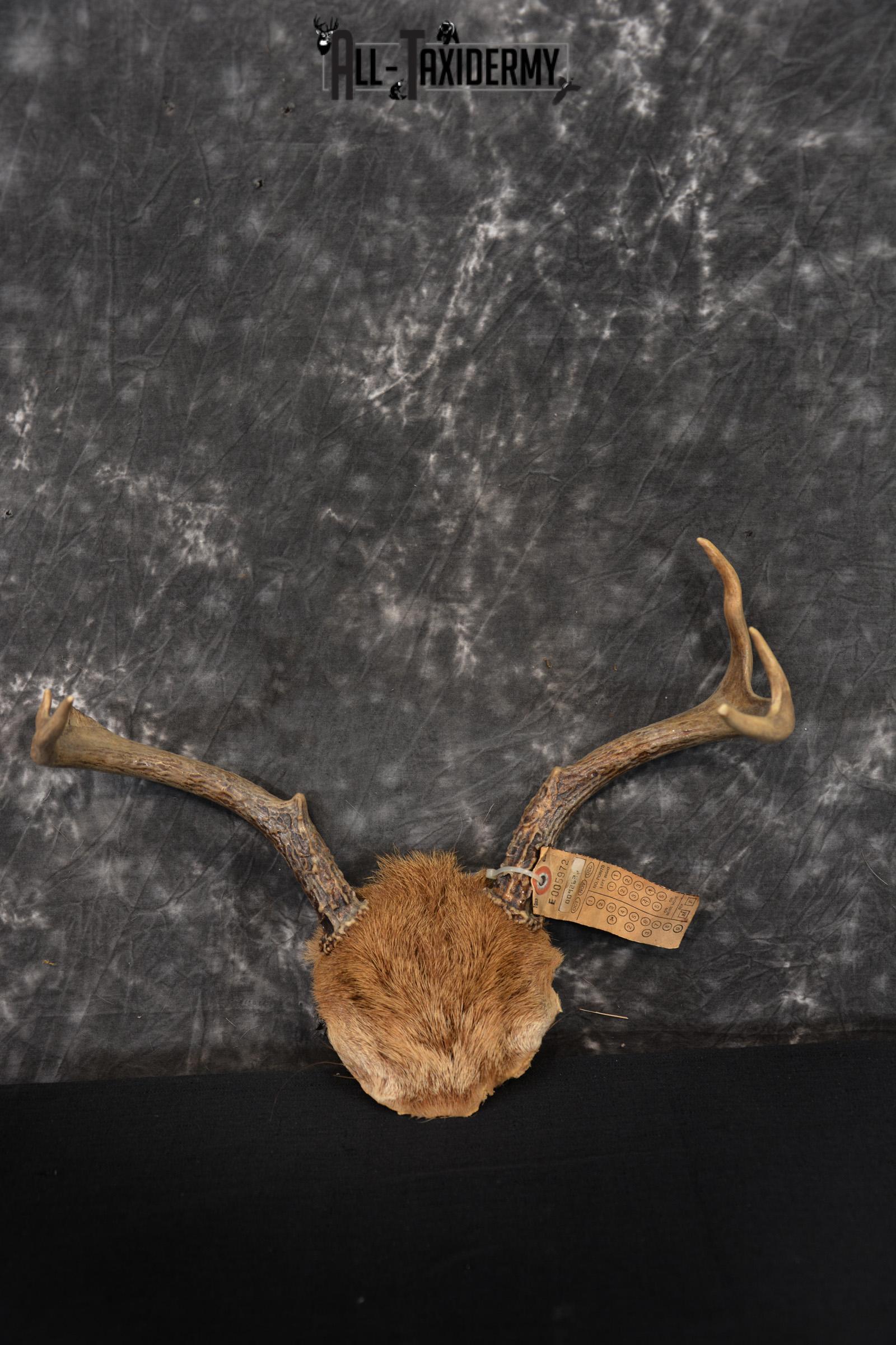 Whitetail Deer Taxidermy Skull Antler with Hair year 1982 SKU 1443