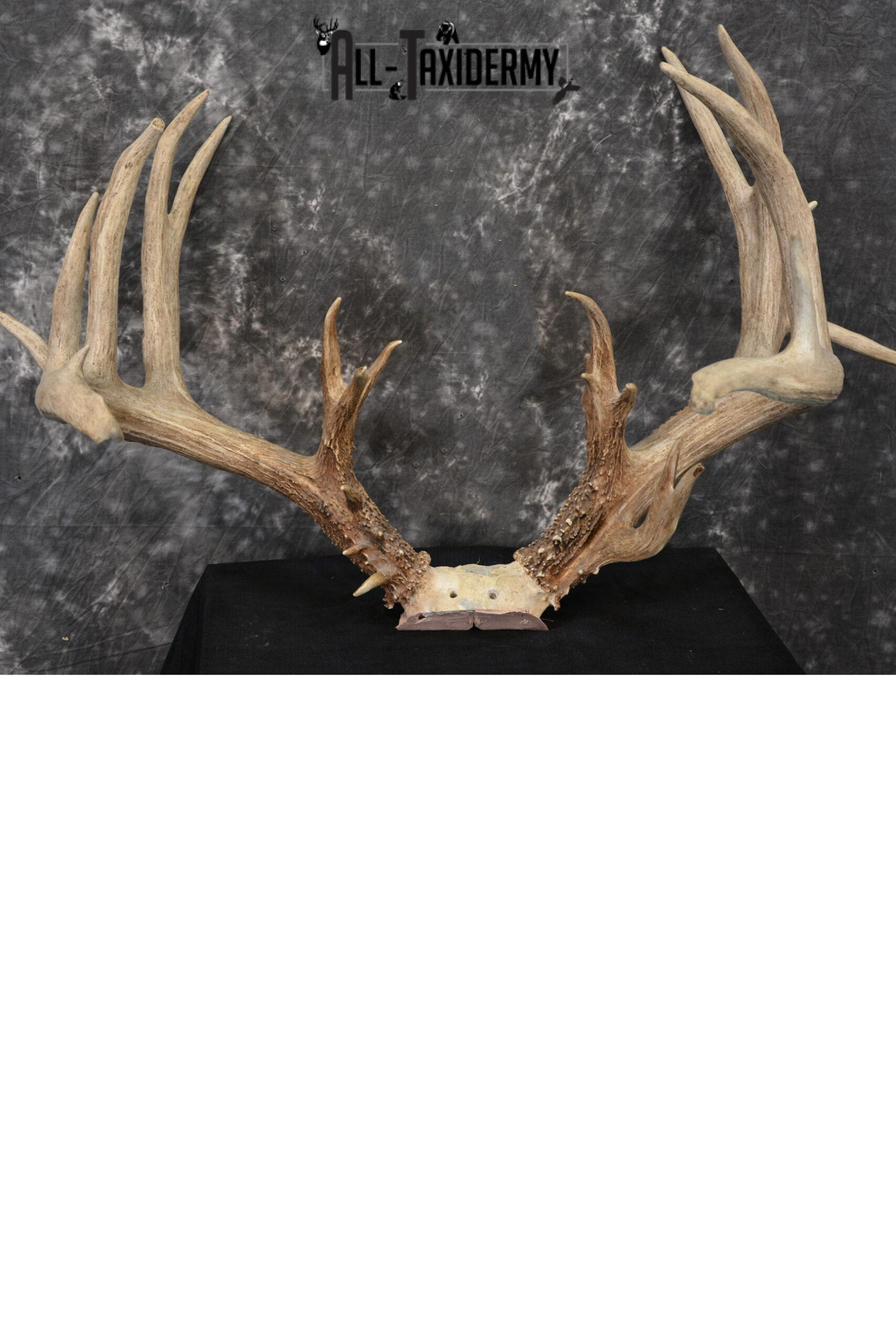 Whitetail Wild Taxidermy Skull Plate Trophy Score 242 5/8 SKU 1072