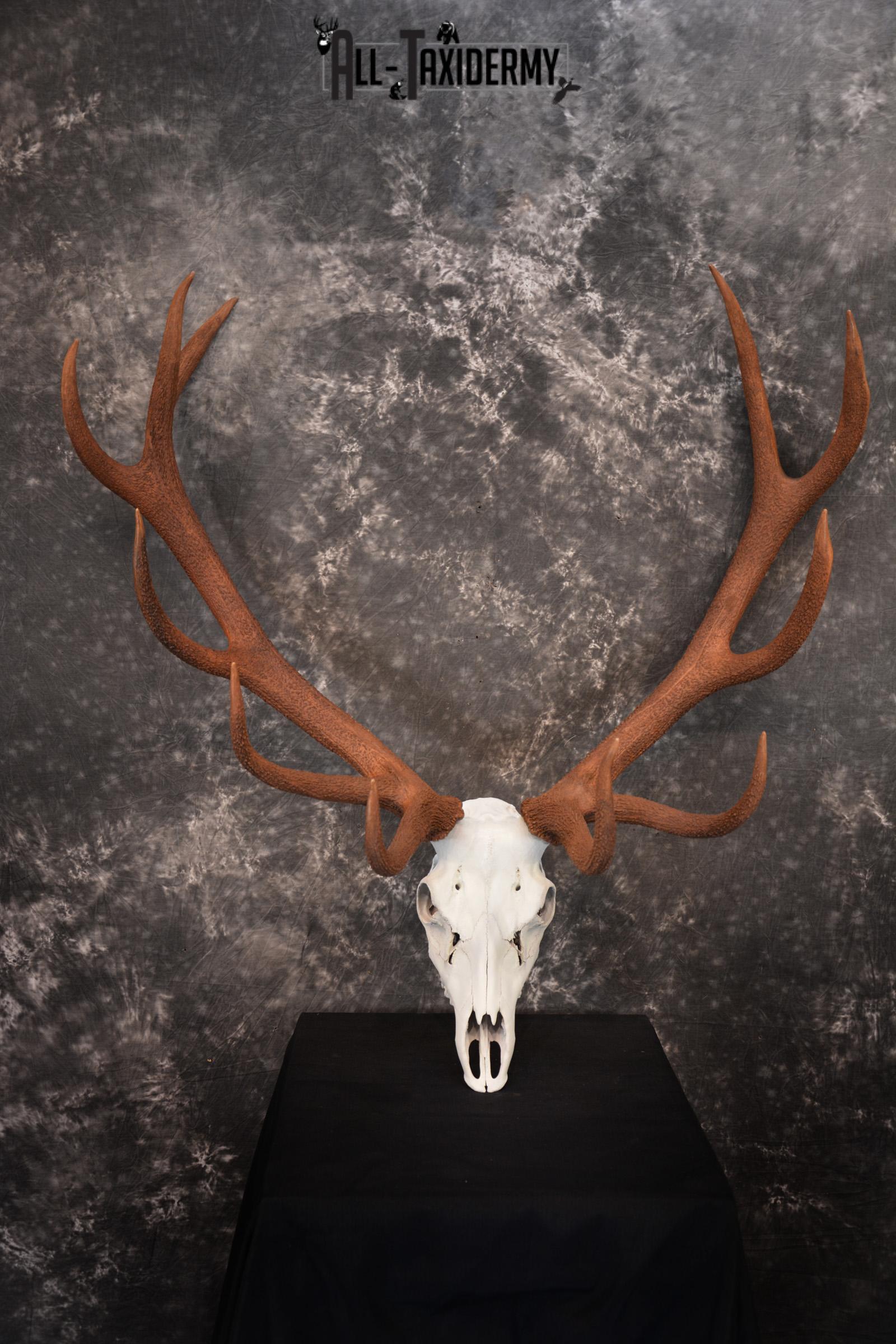 Red Stag European skull taxidermy mount SKU 1438