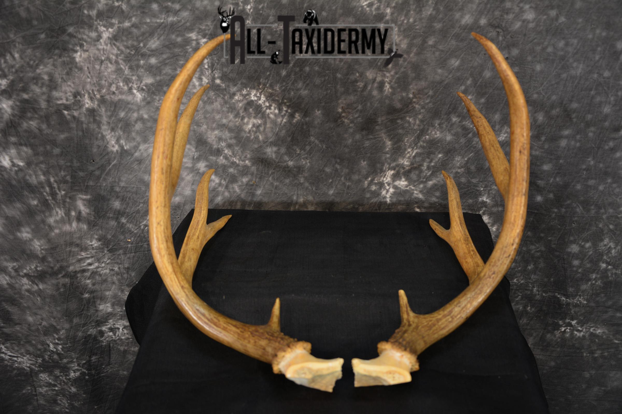 Mule deer antlers skull cap SKU 1428