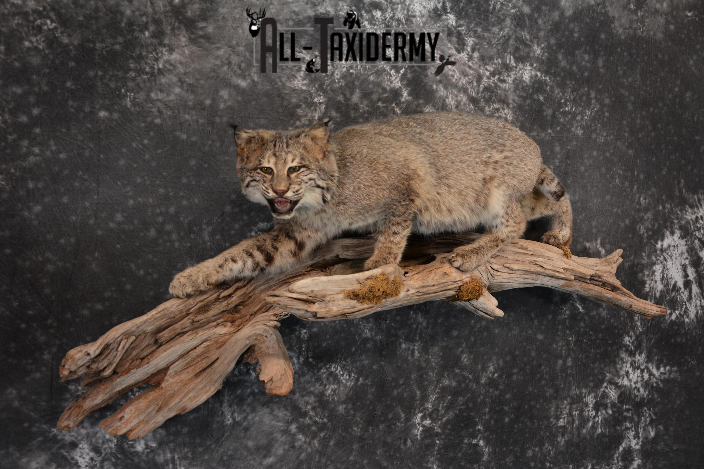 Bobcat Taxidermy life size mount SKU 1413