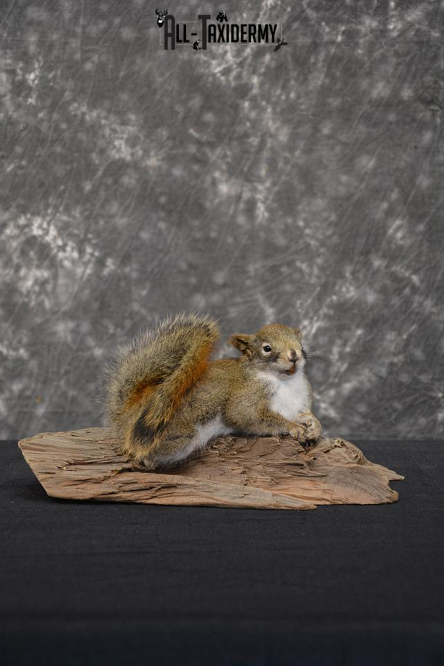 Red Squirrel Taxidermy Mount SKU 1471