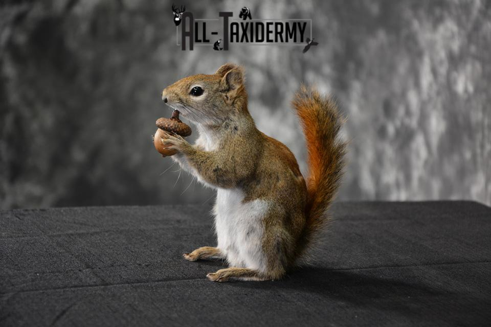 Red Squirrel Taxidermy mount for sale SKU 1469