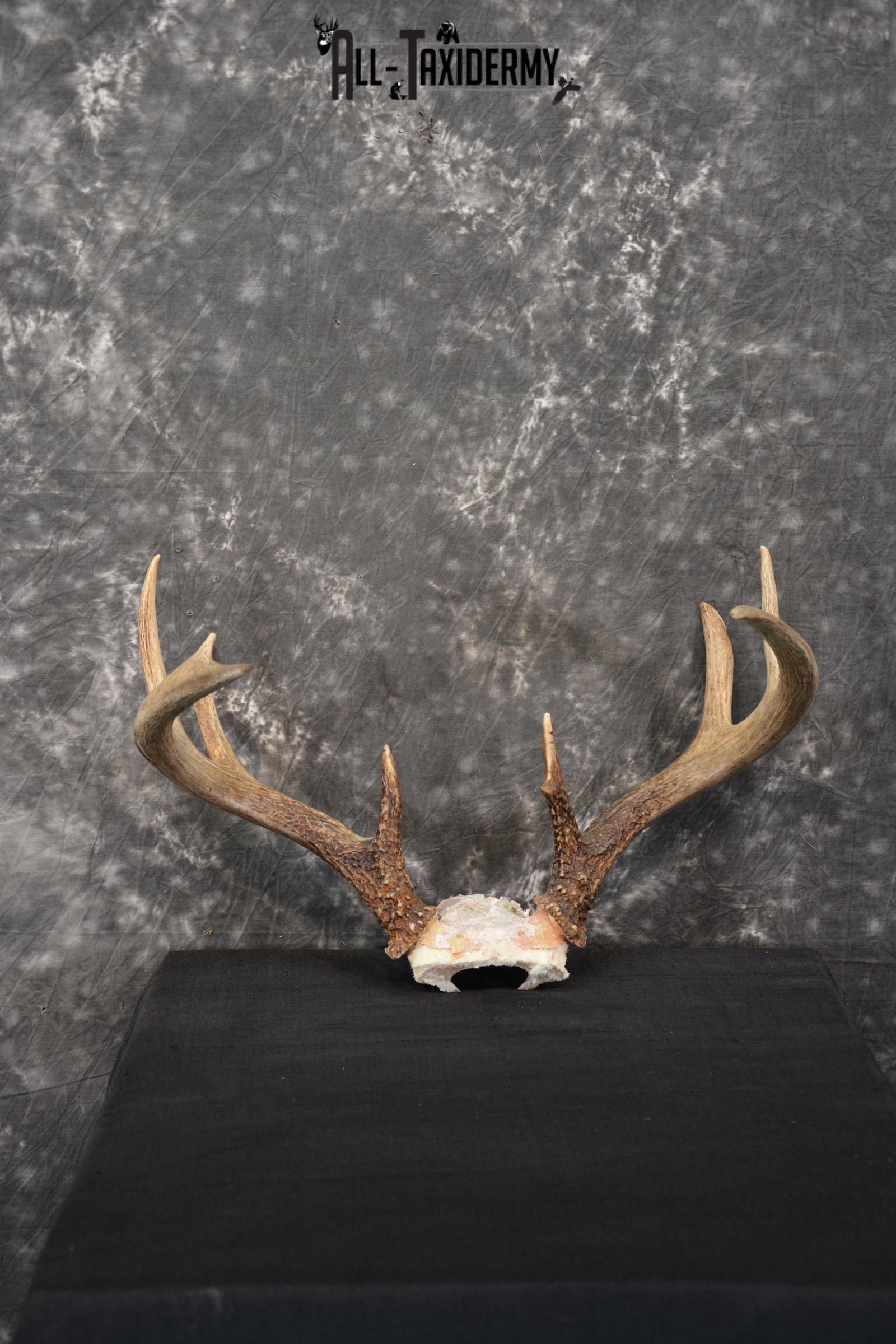 Whitetail Deer Taxidermy skull cap antlers for sale SKU 1448