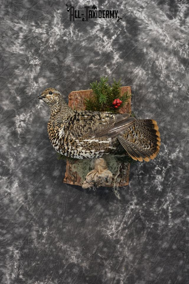 Alaskan Hen Spruce Grouse Pheasant Taxidermy SKU 1473