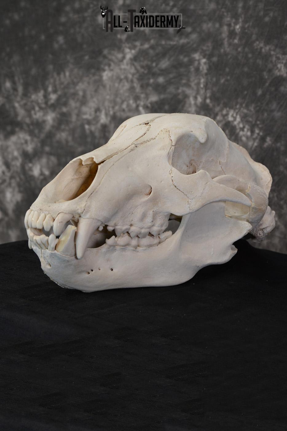 Russian Brown Bear Skull Taxidermy Mount for sale SKU 1533