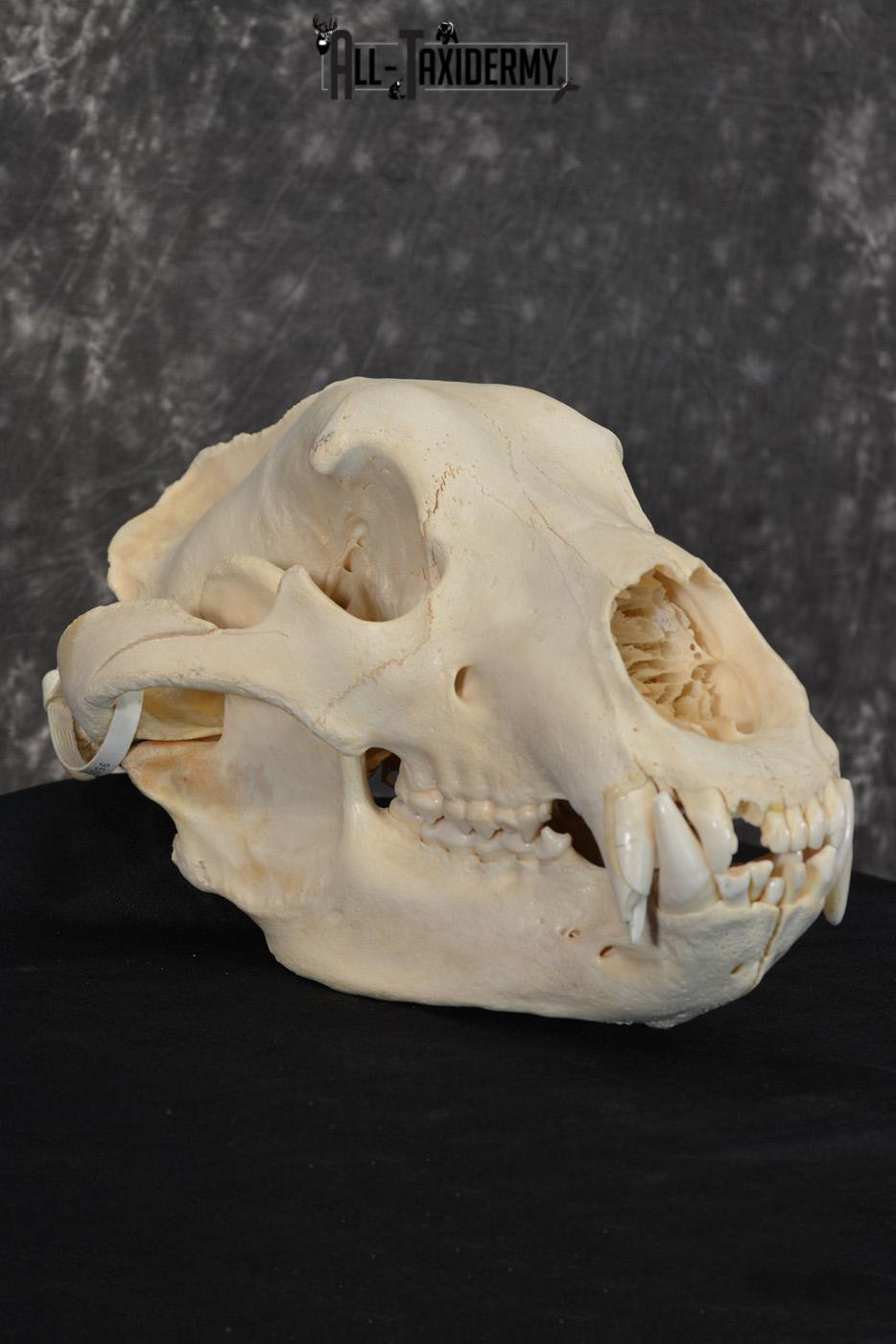 Brown Bear European Skull Taxidermy for sale SKU 1532