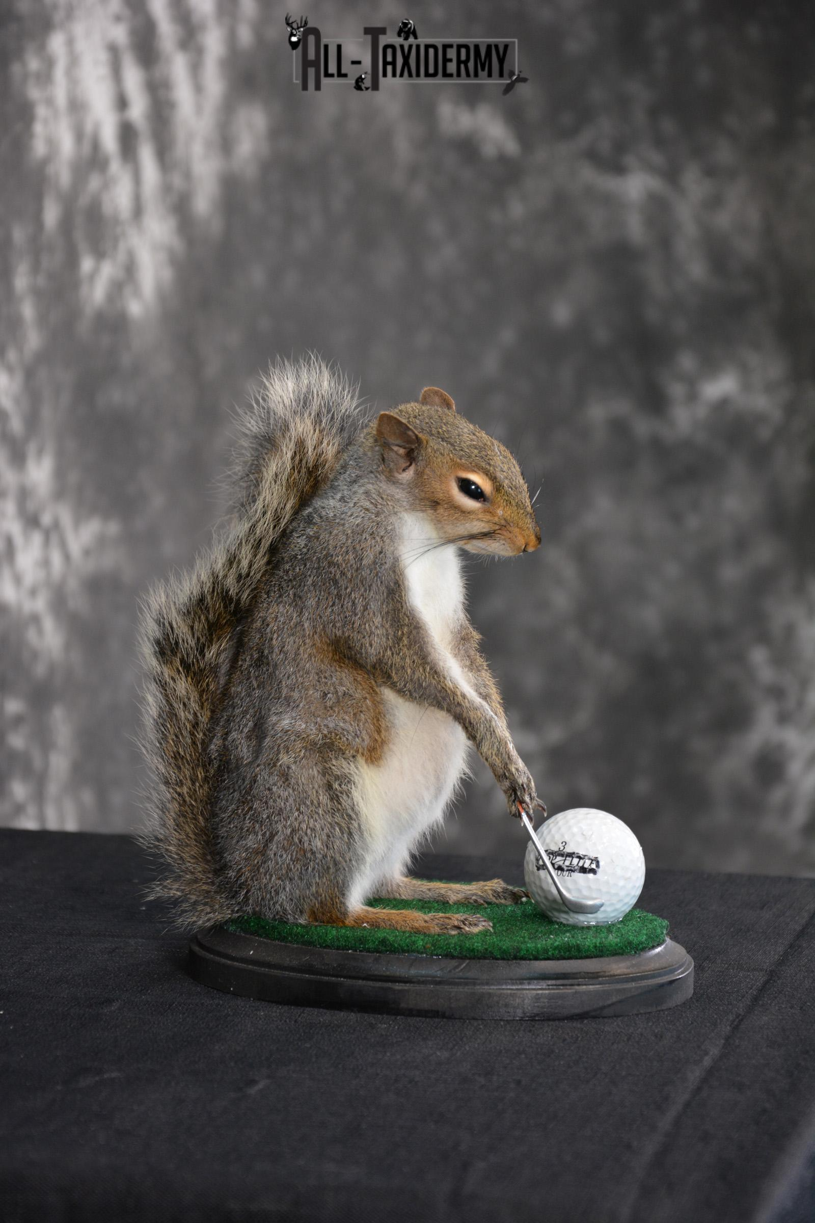 Grey Squirrel Golfing Novelty Taxidermy Mount SKU 1519