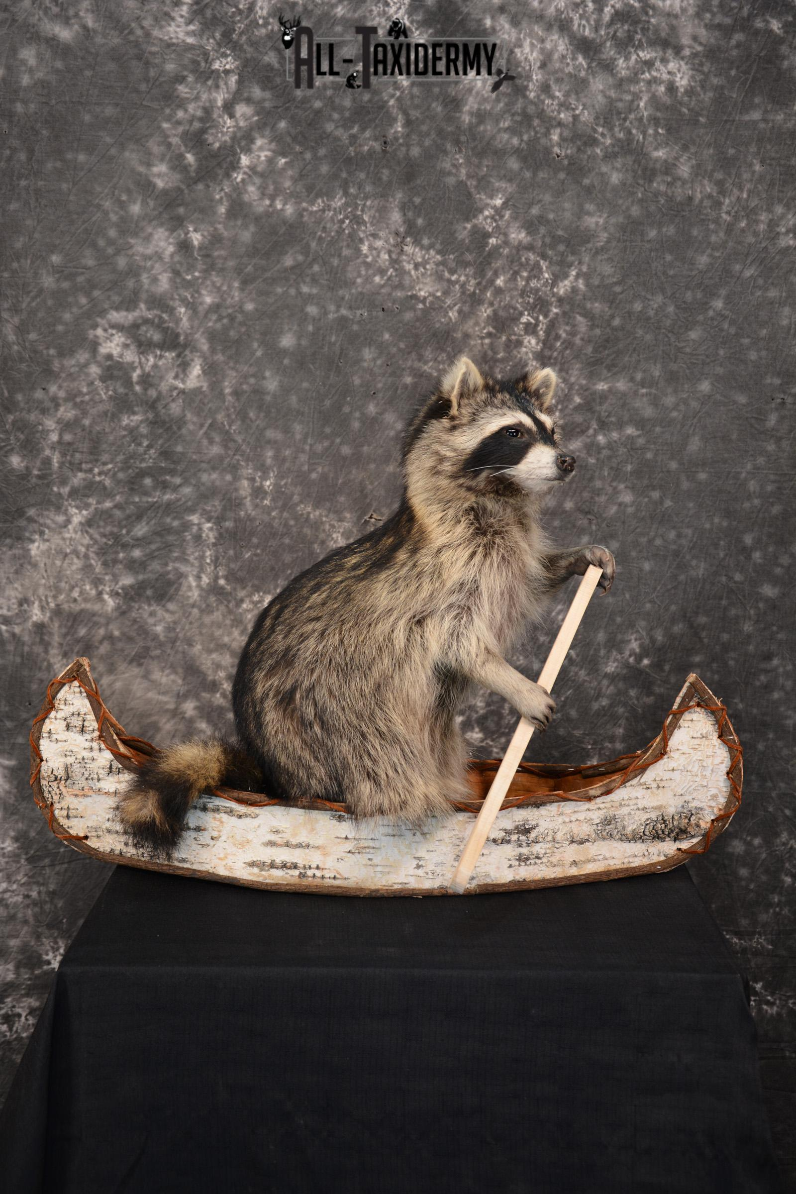 Raccoon in a canoe Taxidermy Mount for sale SKU 1496