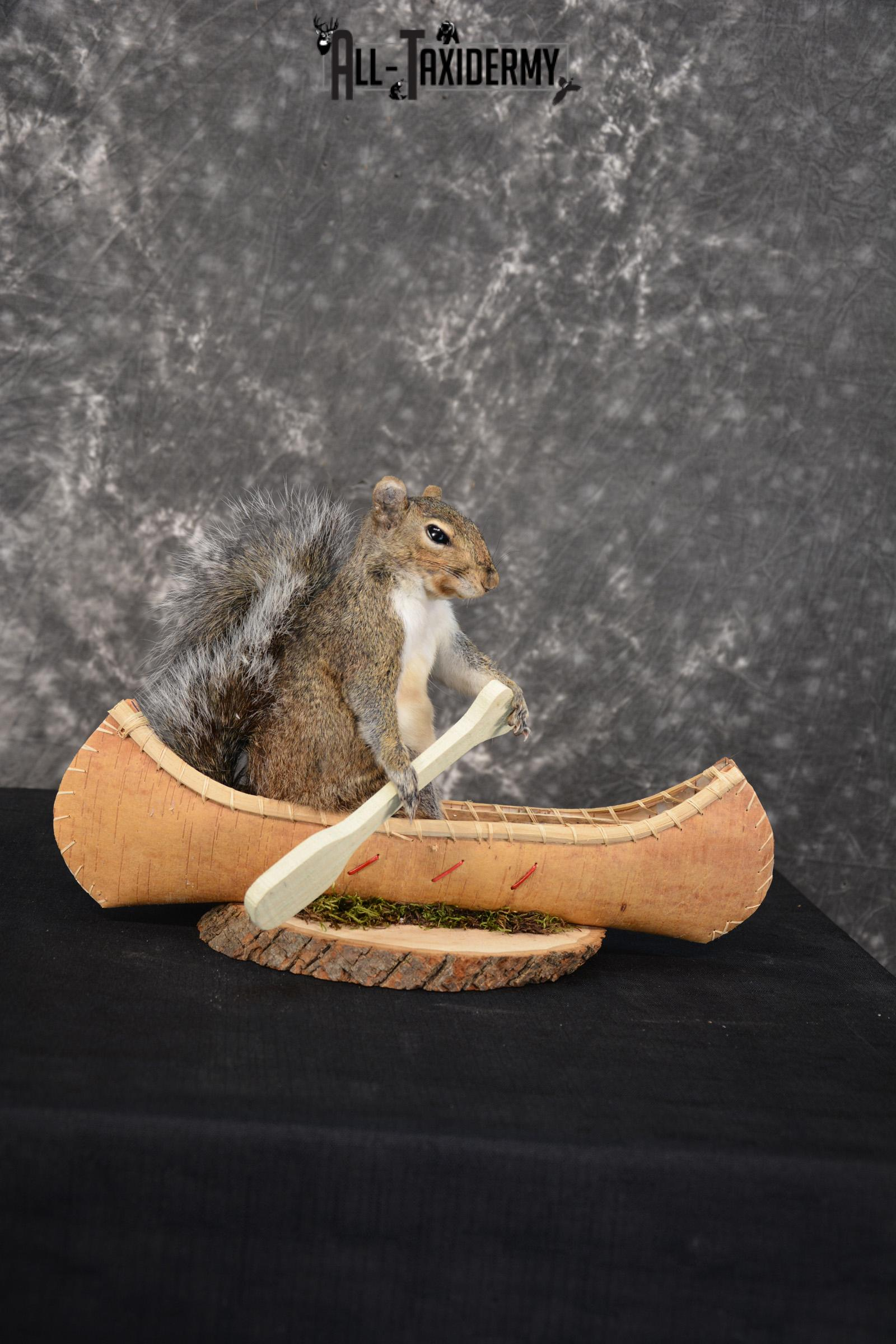 Grey Squirrel in a canoe Novelty Taxidermy Mount for sale SKU 1493