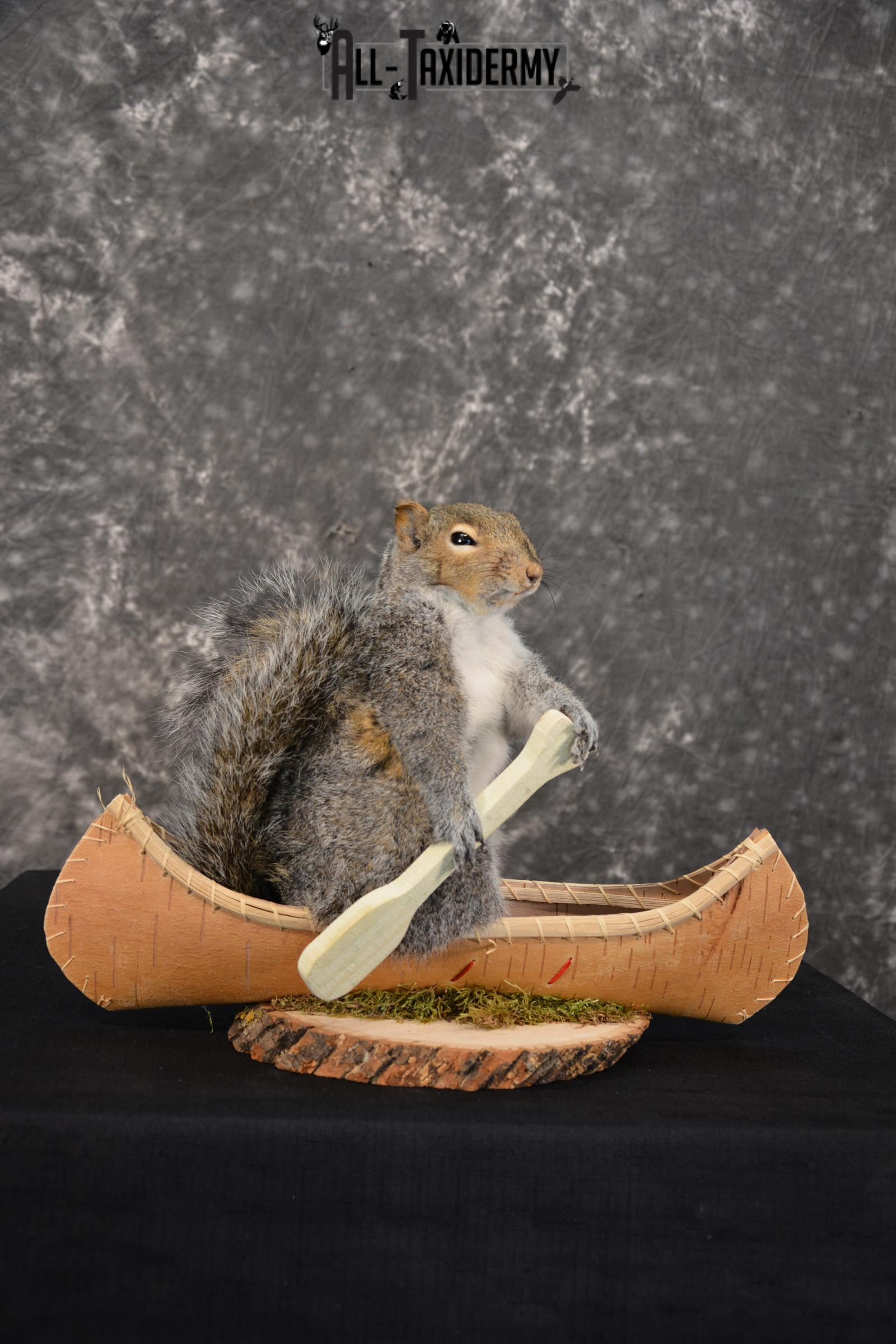 X-Large Grey Squirrel in a canoe Novelty Taxidermy Mount for sale SKU 1492